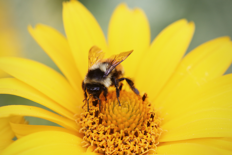 Yellow bee photo