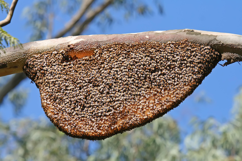 File:Natural Beehive and Honeycombs.jpg - Wikipedia