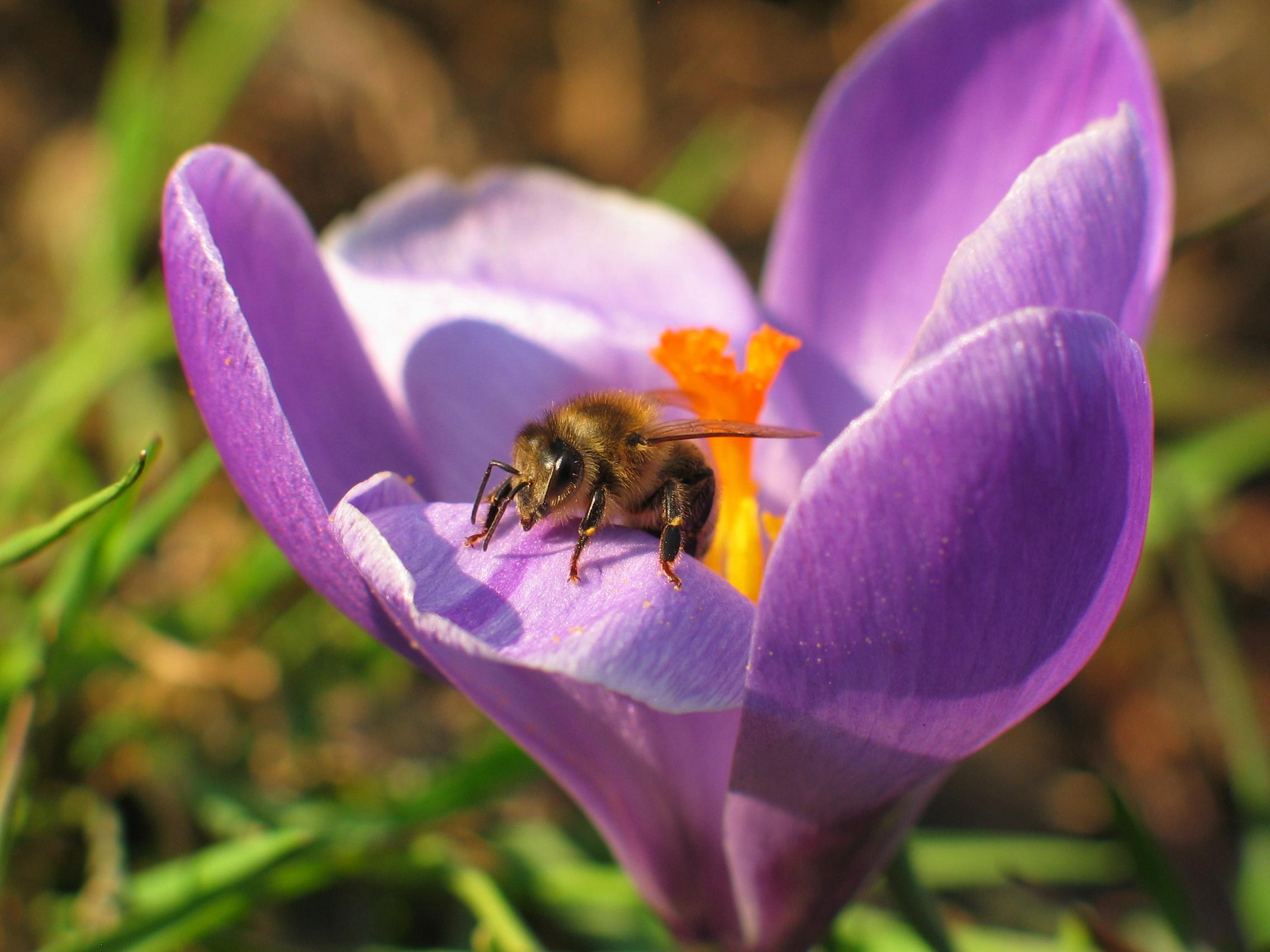 Bees on crocus photo