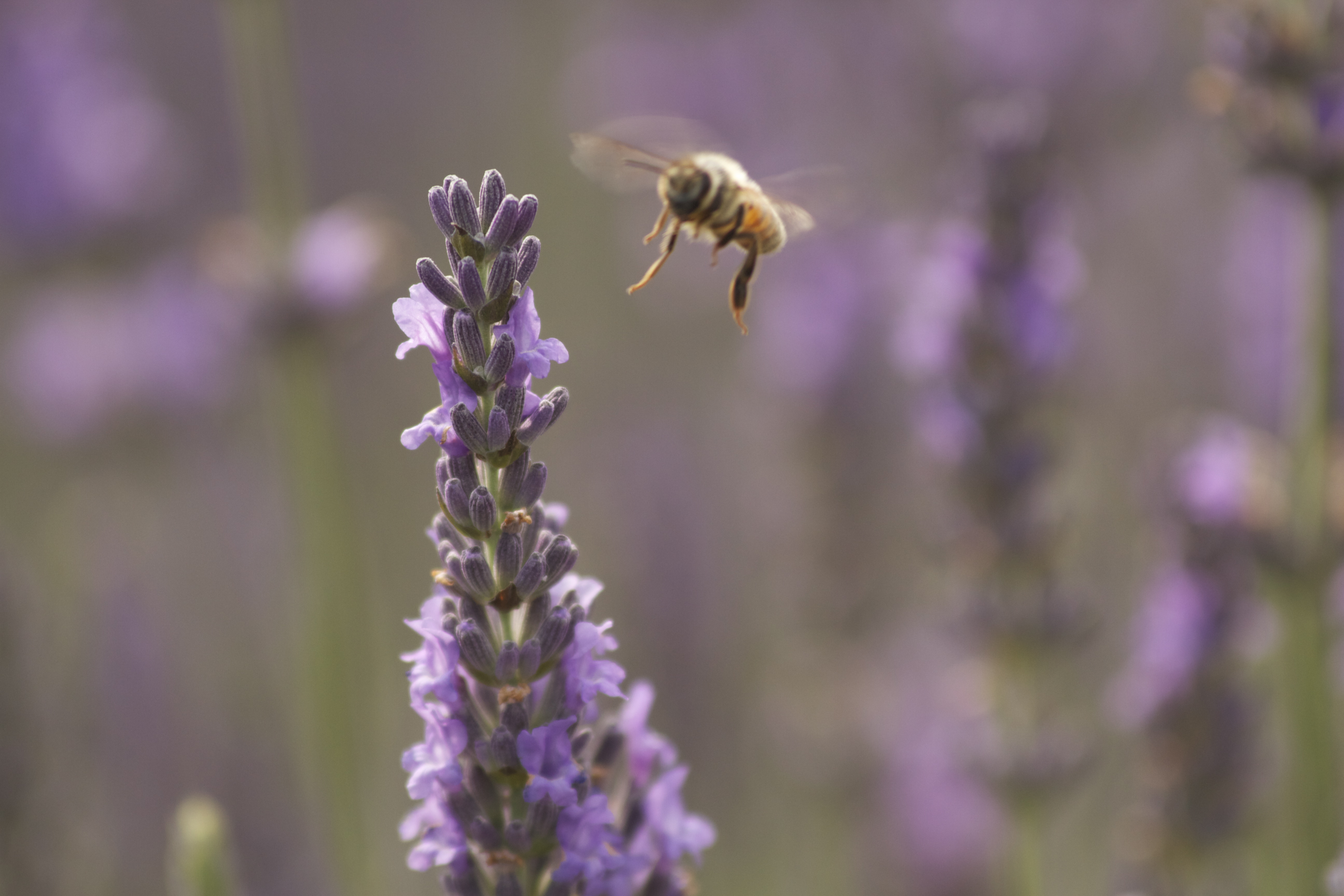 Bees on lavender photo