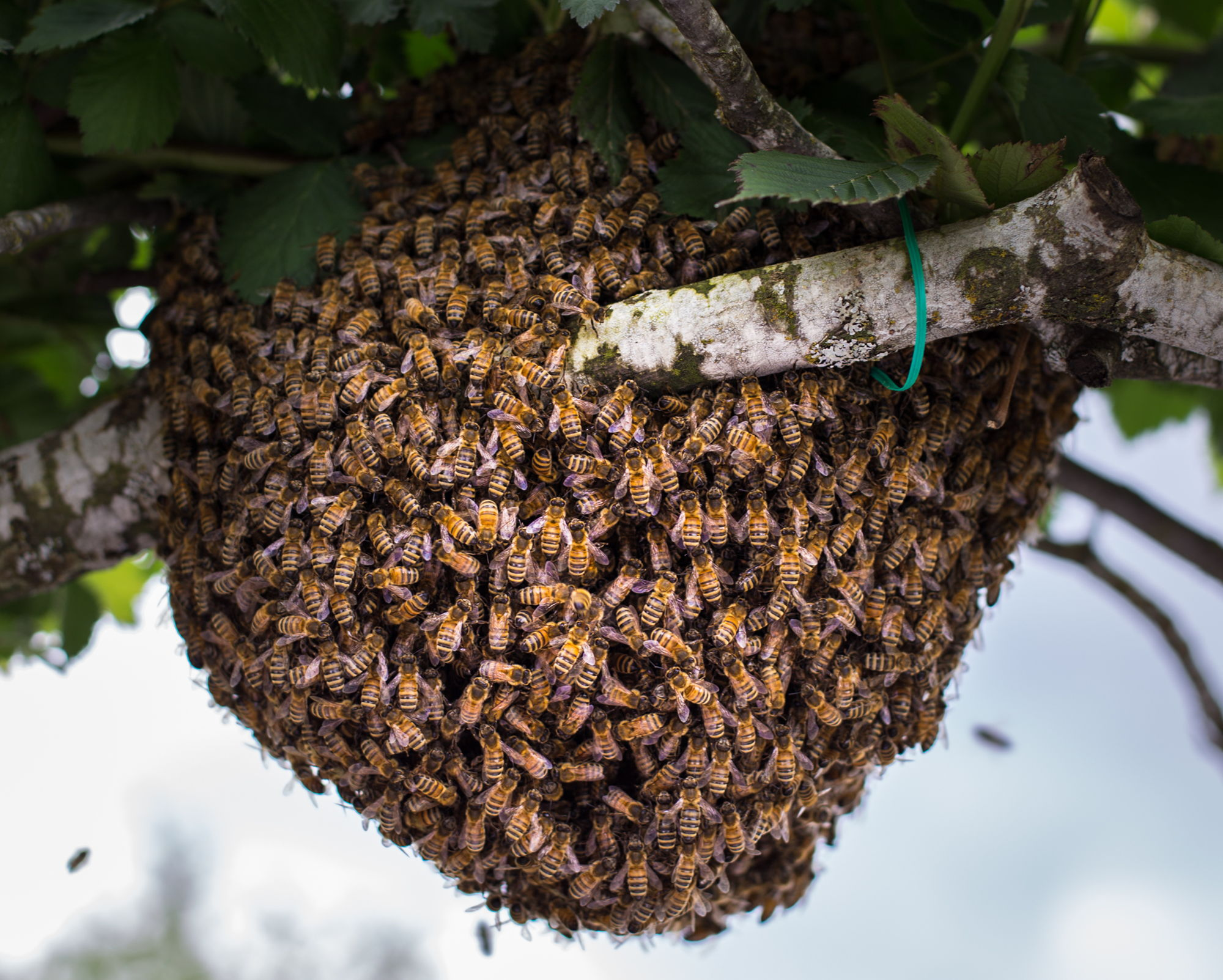 How to Catch a Bee Swarm And Install In Your Beehive