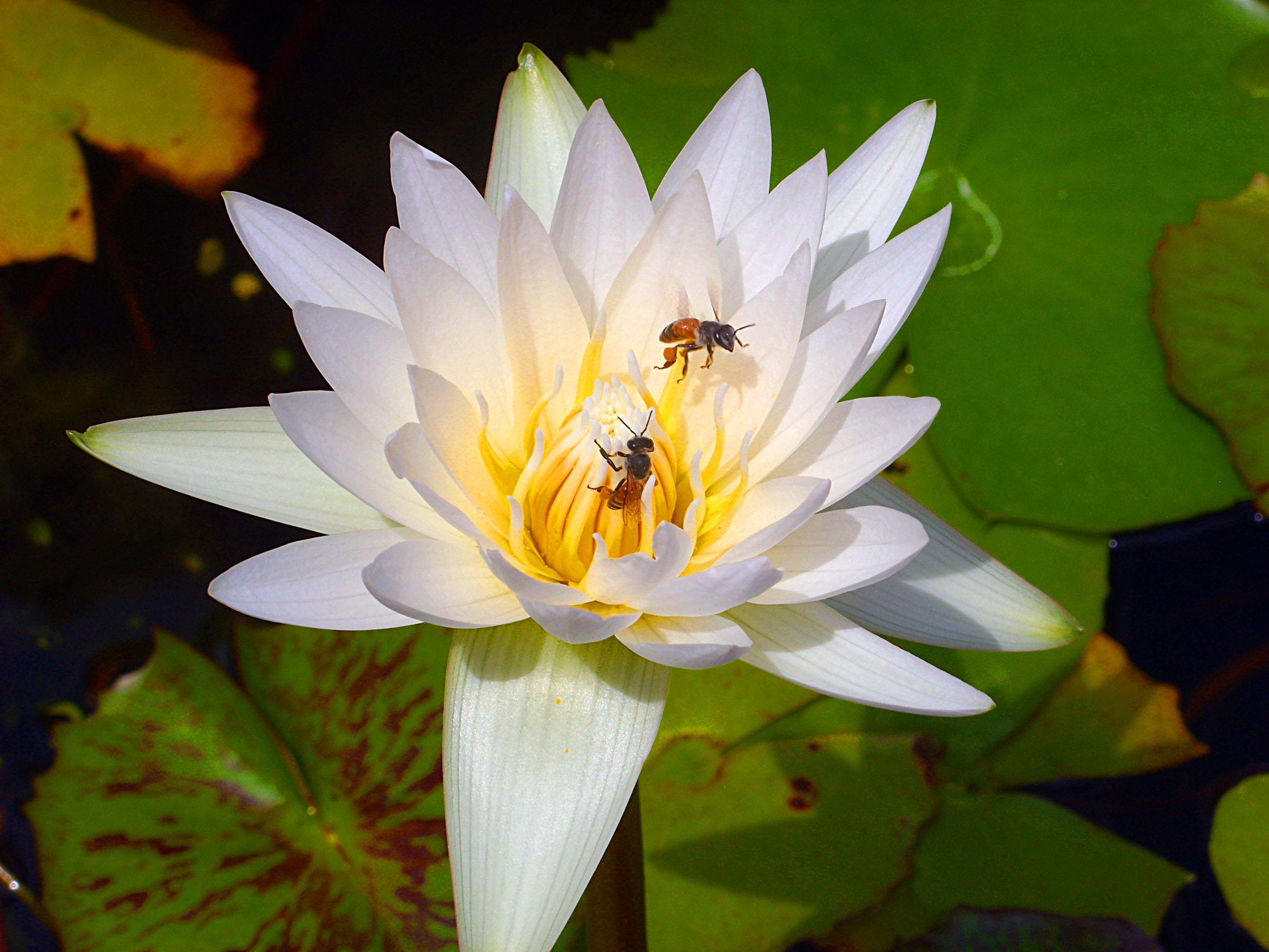 Free photo bees on lotus flower thailand tropical thai free bees on lotus flower thailand tropical thai lotus hq photo izmirmasajfo