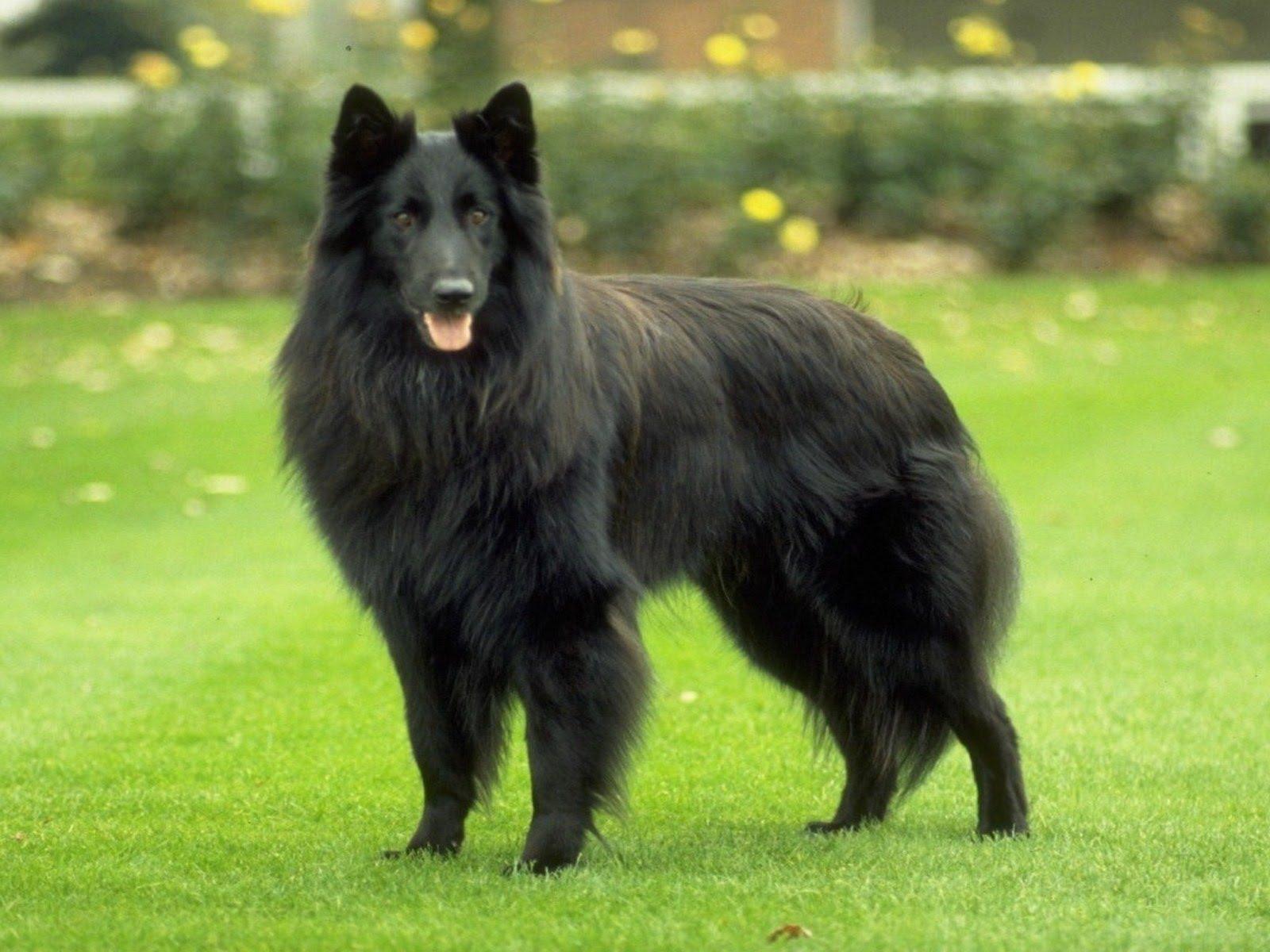 Belgian Shepherd Dog - YouTube