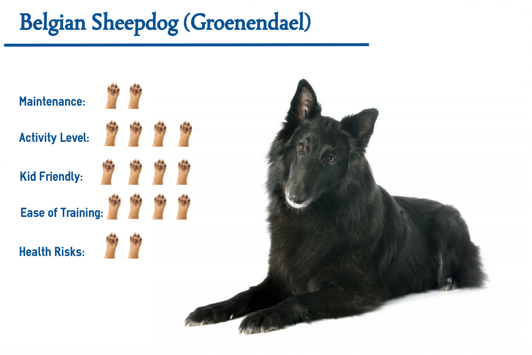 Belgian Sheepdog… Everything You Need to Know at a Glance!