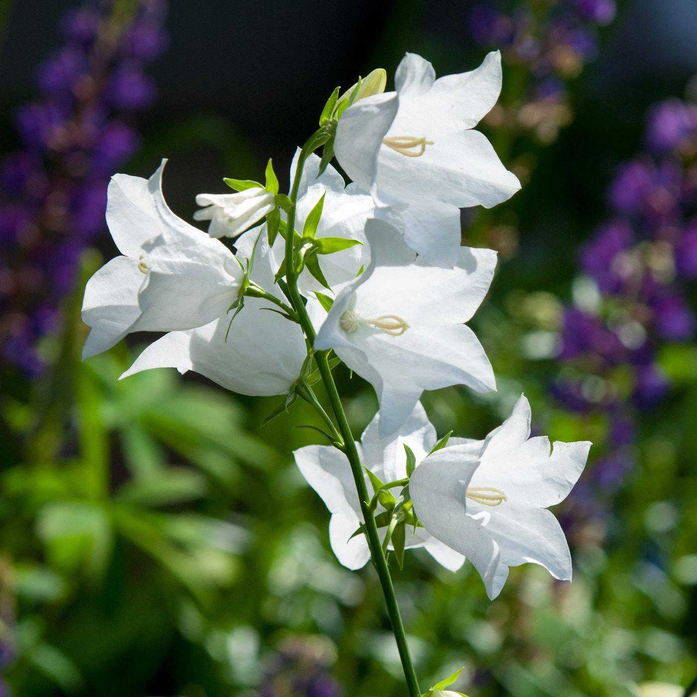 Free Photo Bell Flower Garden Nature Fresh Free Download Jooinn