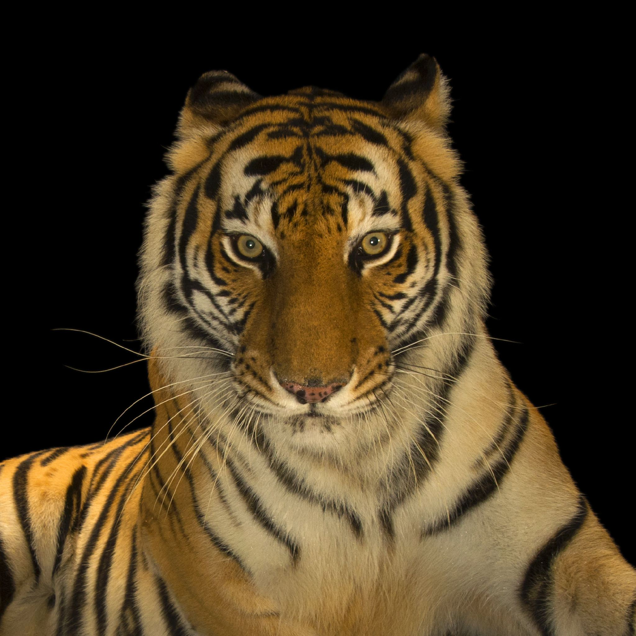 Bengal Tiger | National Geographic