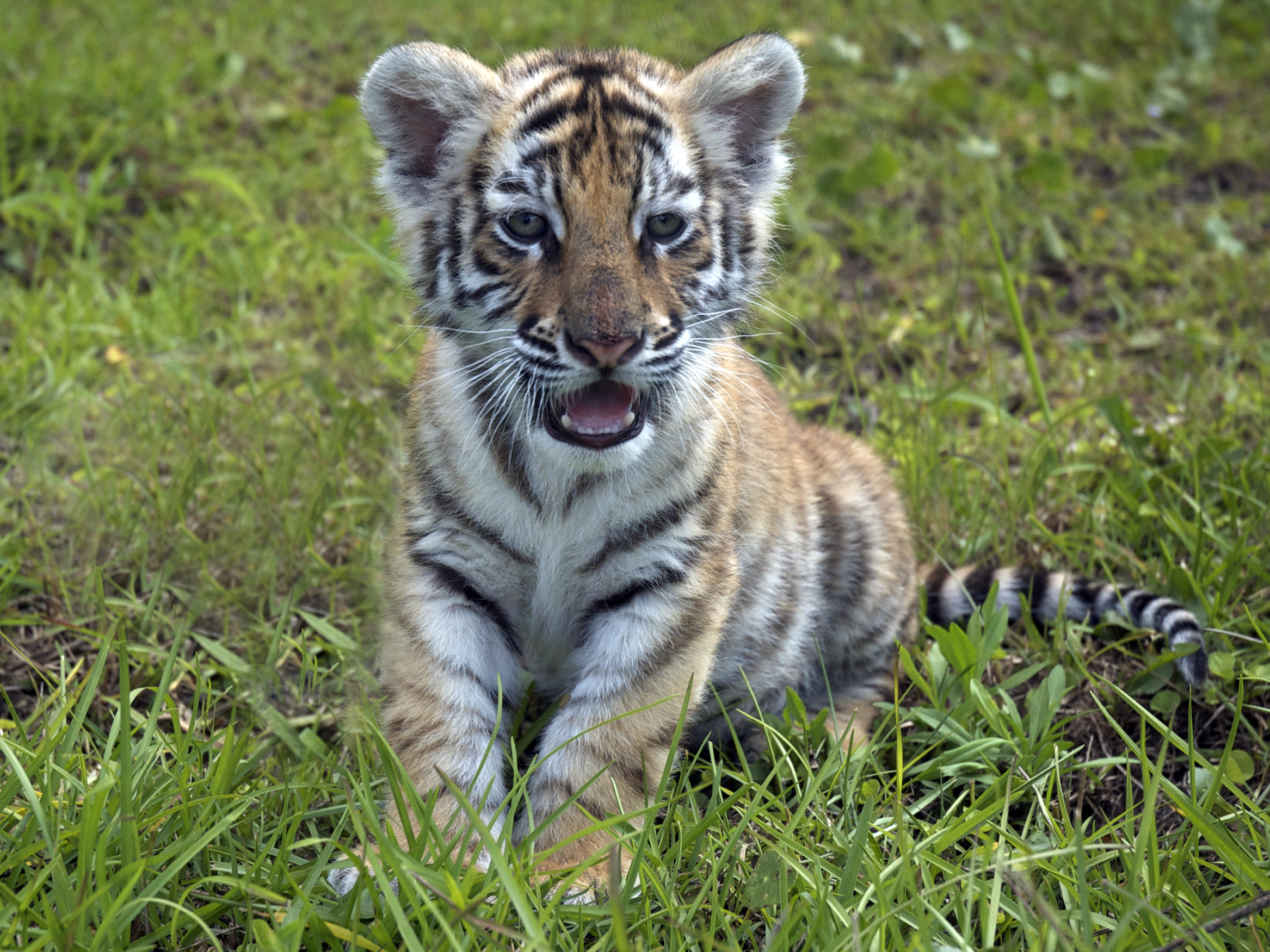 Bengal Tiger « CLCrow Photography Blog
