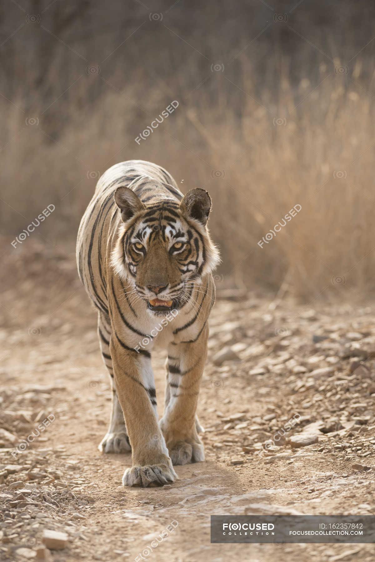 Bengal tiger, Panthera tigris tigris — Stock Photo | #162357842