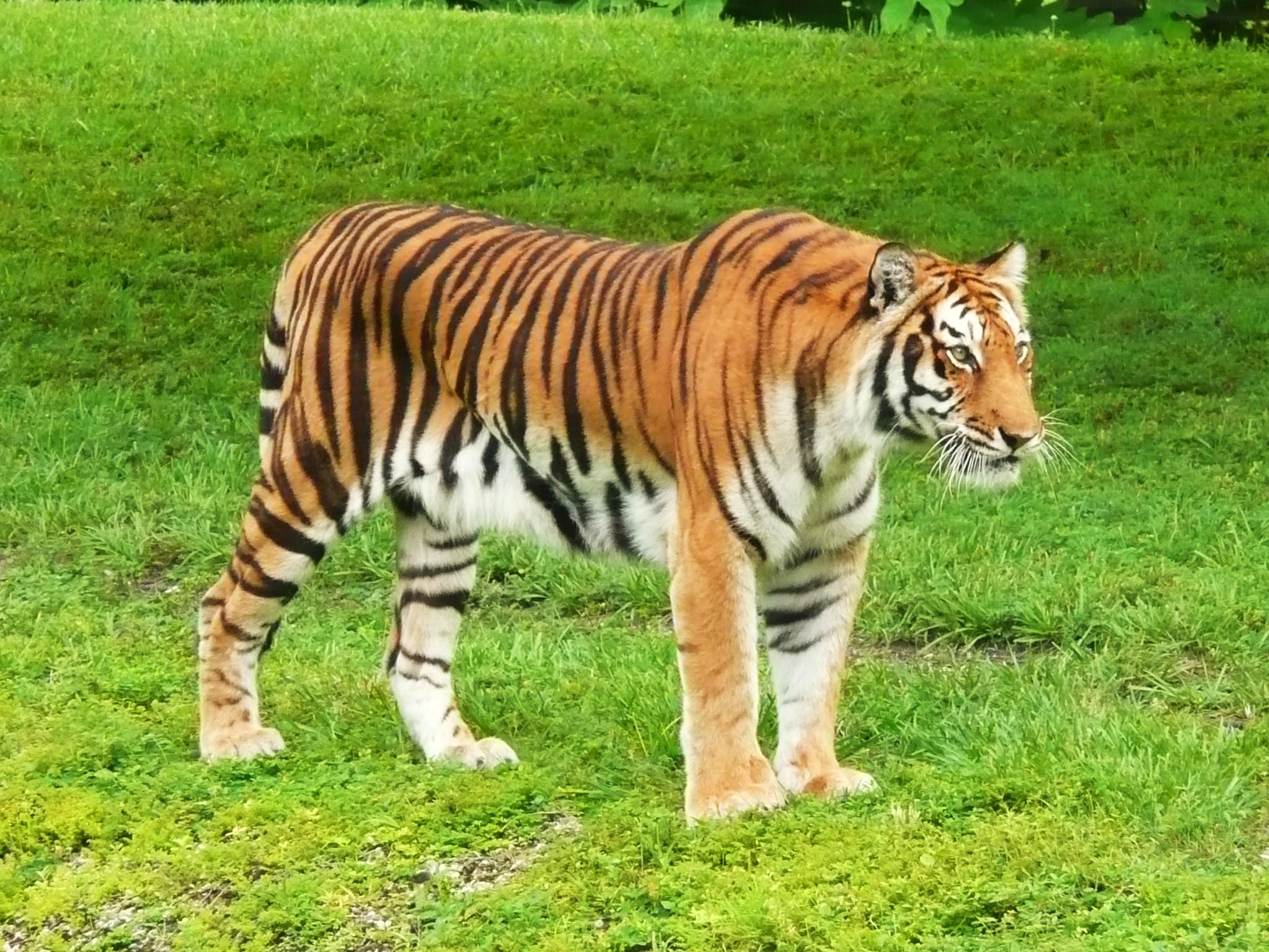 File:Bengal Tiger Miami MetroZoo.jpg - Wikimedia Commons