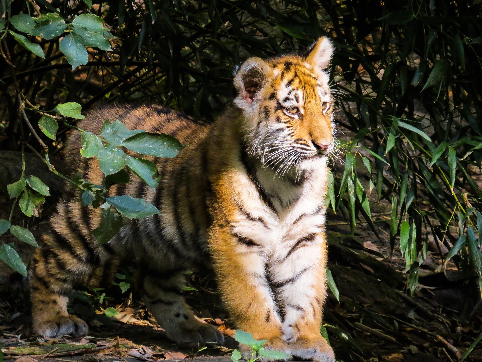 Bengal Tiger, Animal, Bengal, Cub, Jungle, HQ Photo
