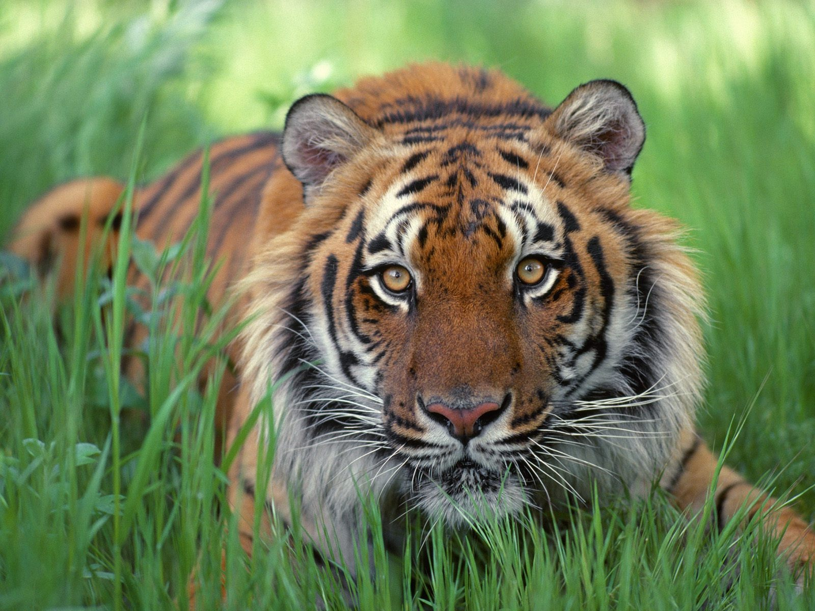 Royal Bengal Tiger In Bangladesh - Pet Care