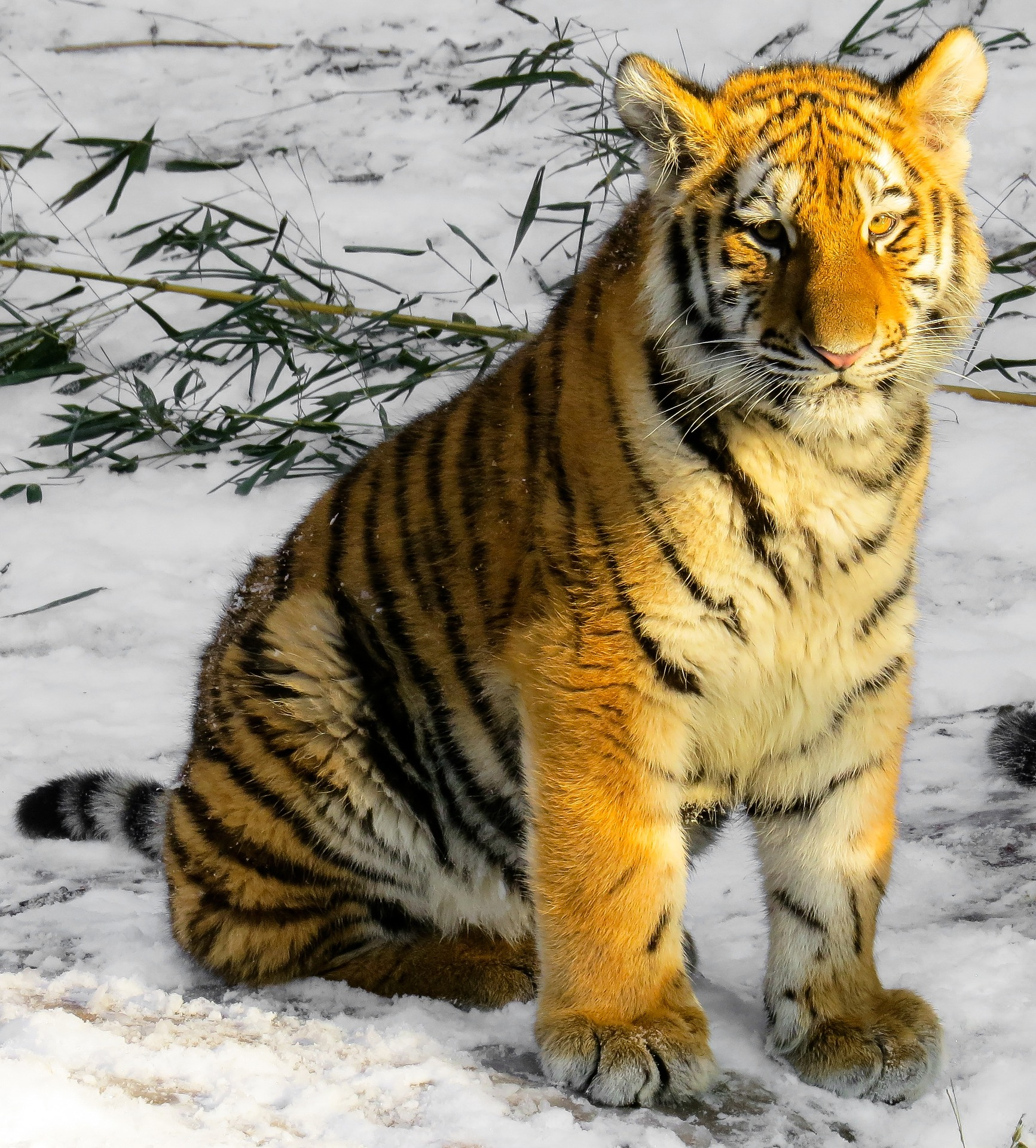 Bengal tiger photo