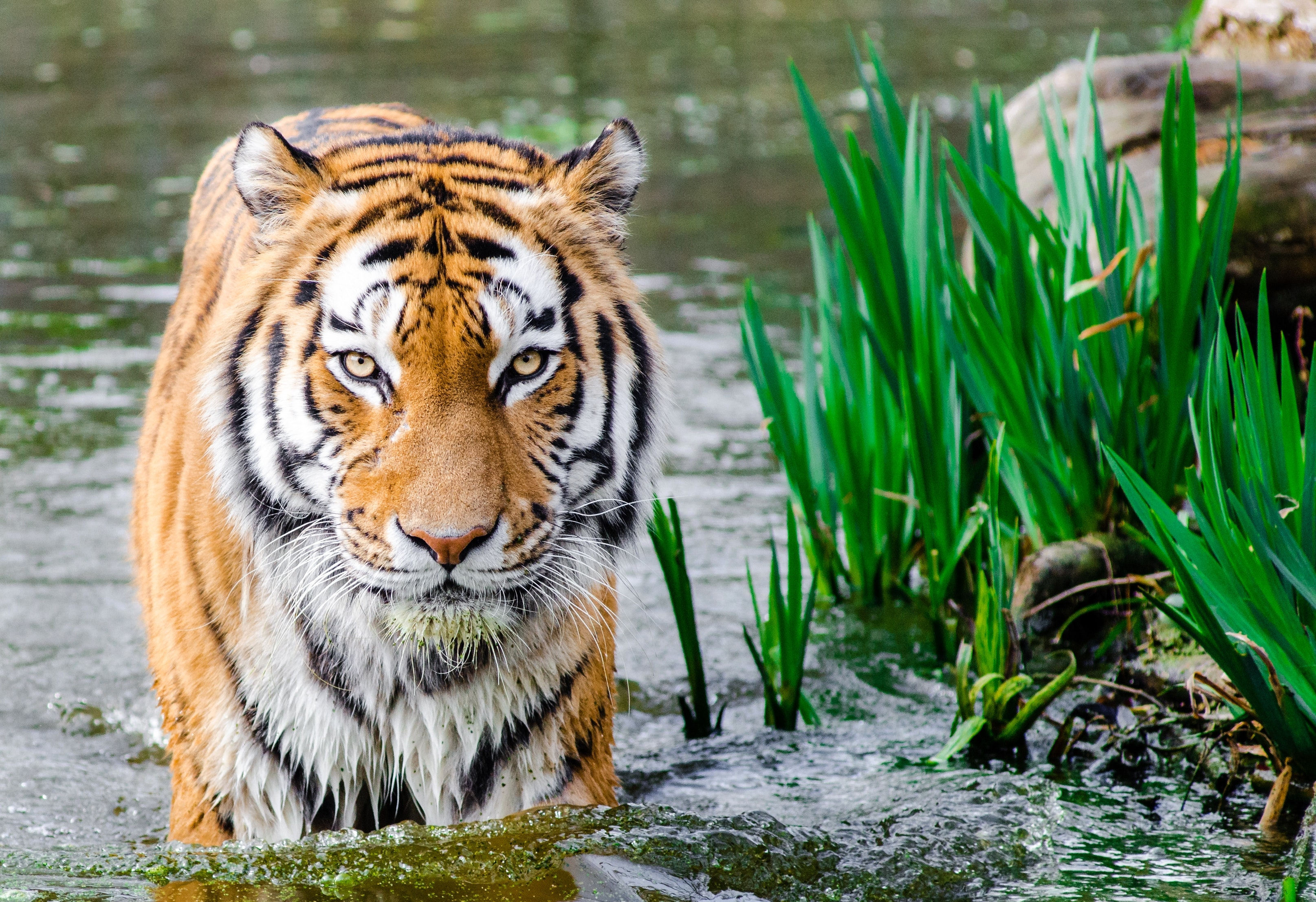 Bengal Tiger Half Soak Body on Water during Daytime, Tiger, Stripes, Plants, Water, HQ Photo