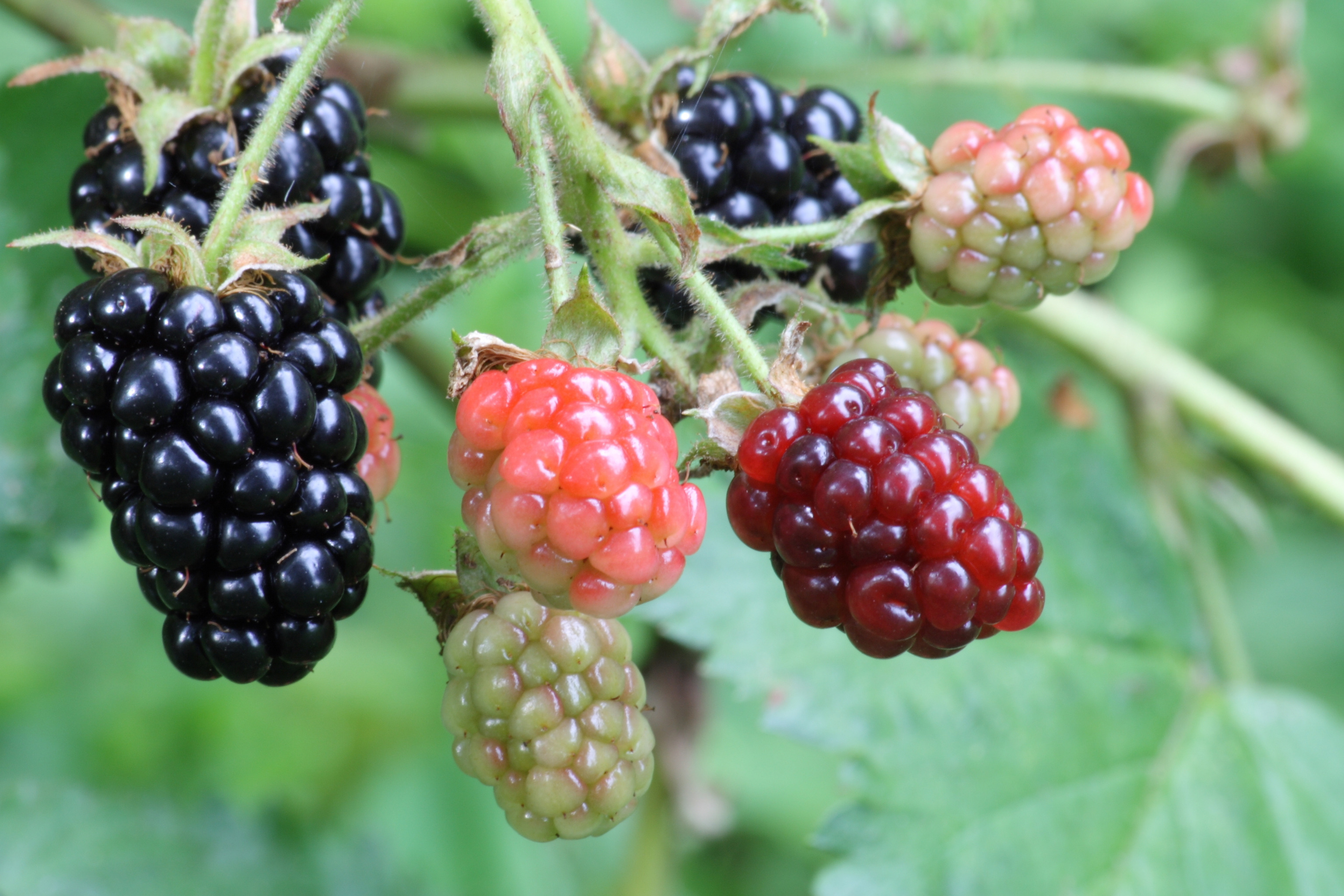 Wild berries photo