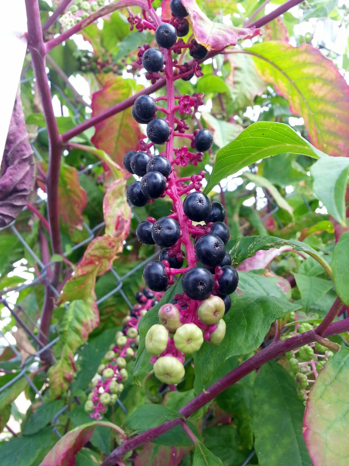 Ben's Journal: Name that Plant: Red Stems with Clusters of Berries ...