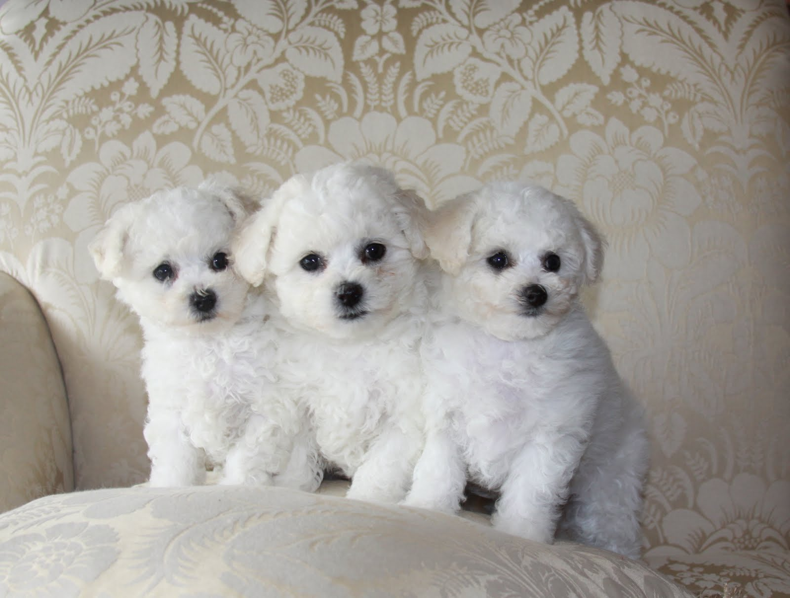 Bichon frise puppy photo