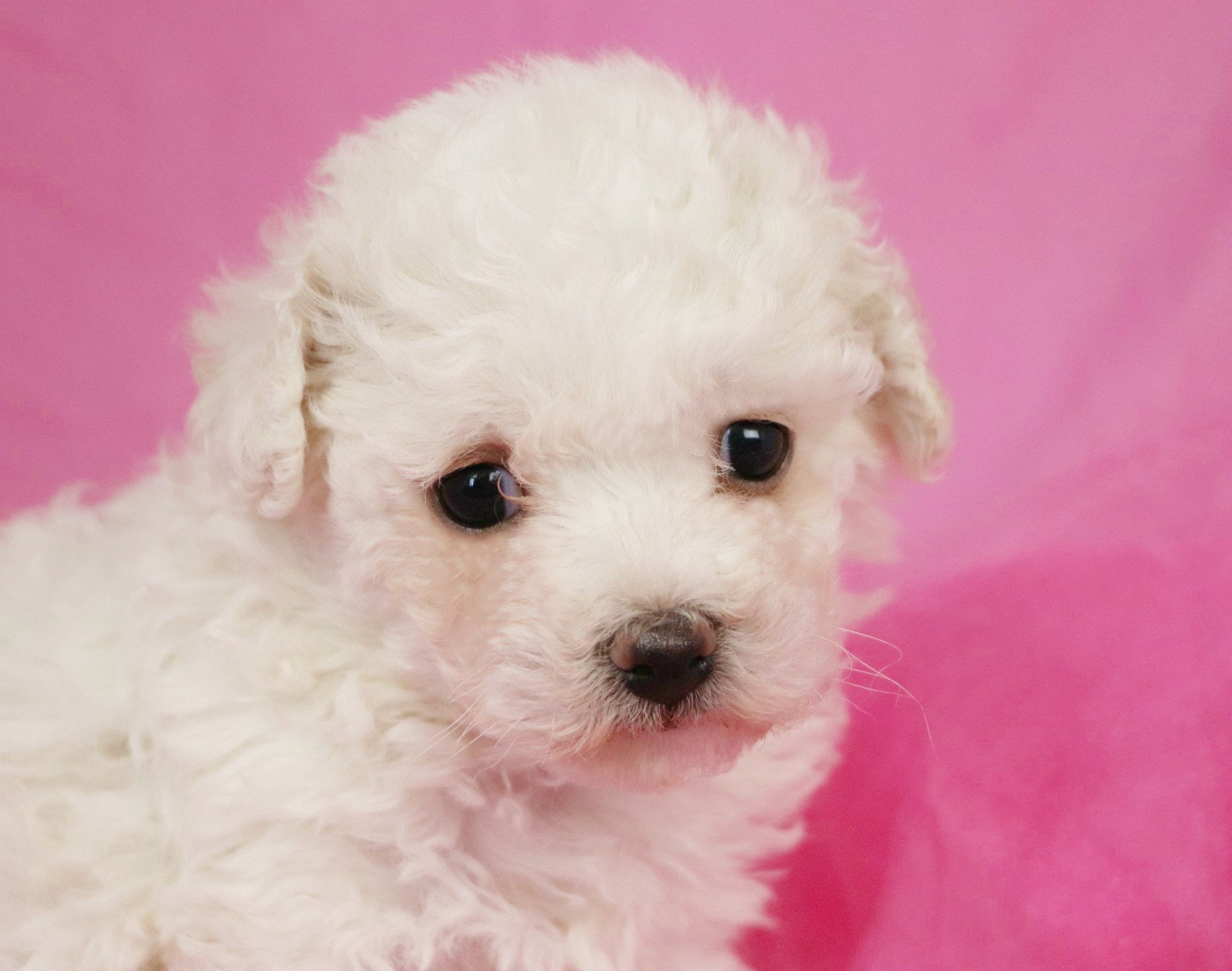 Free photo: Bichon Frise Puppy - Small, White, Puppy - Free Download