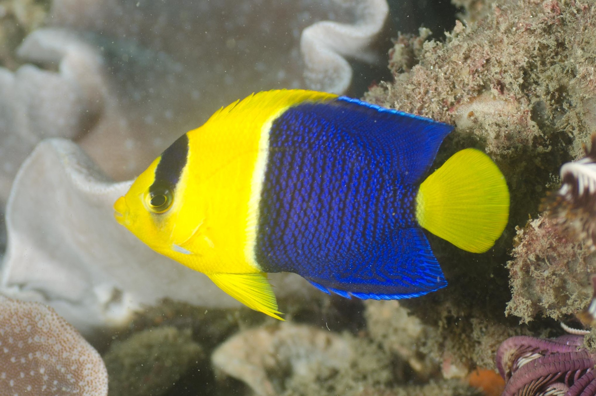 Bicolor angelfish photo