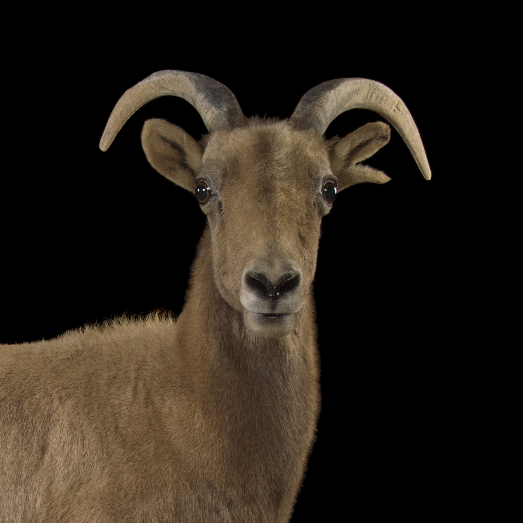 Bighorn sheep photo