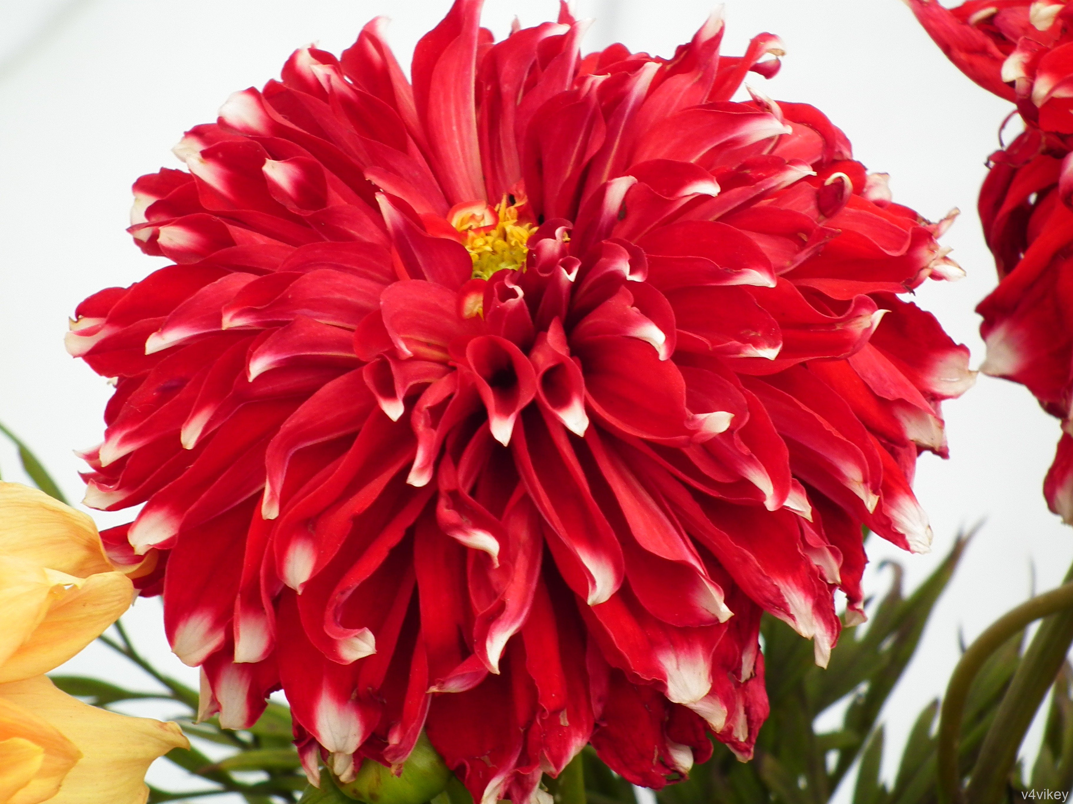 Red Checker Big Dahlia Flower is one of the most consistent blooming ...