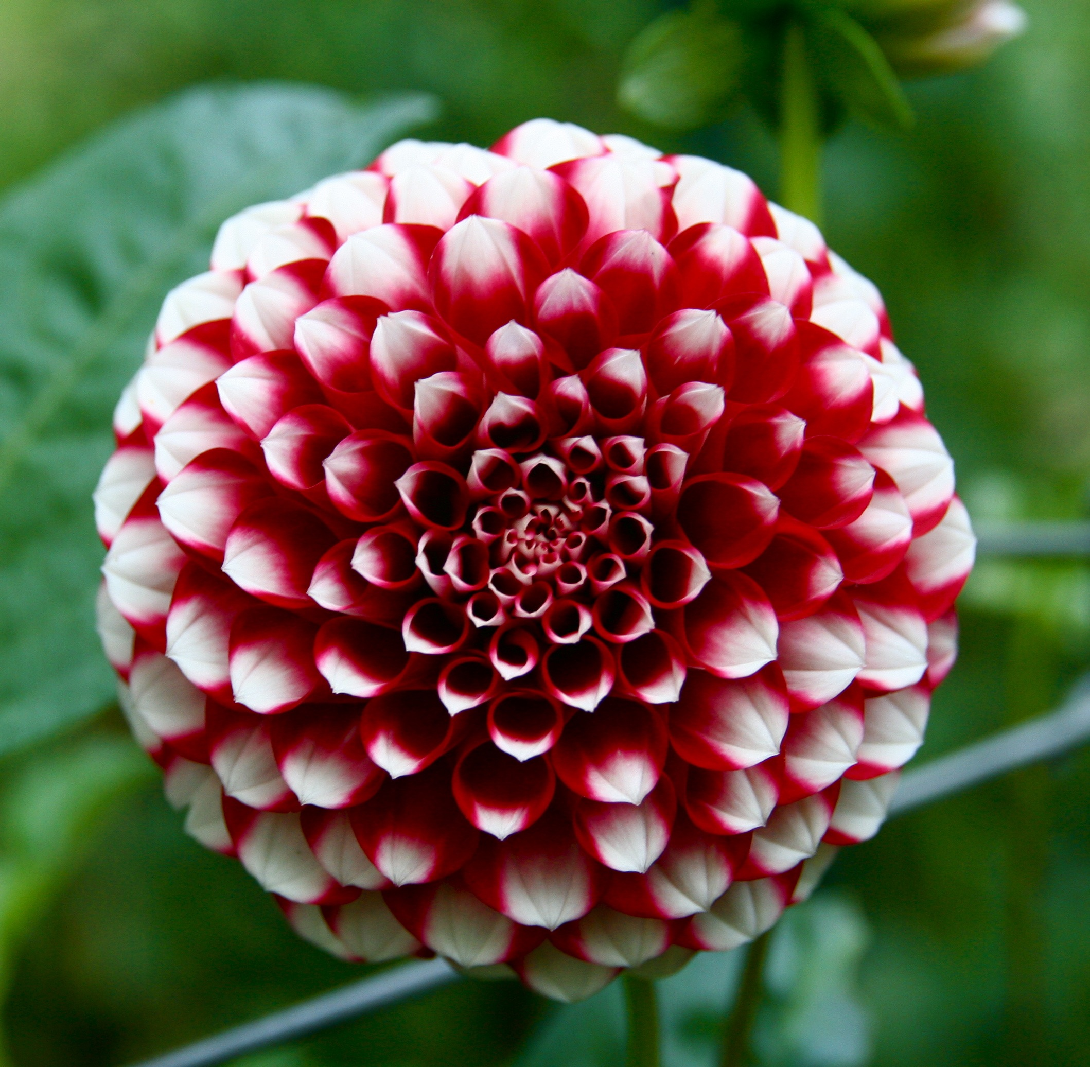 File:Big red and white flower.jpg - Wikimedia Commons
