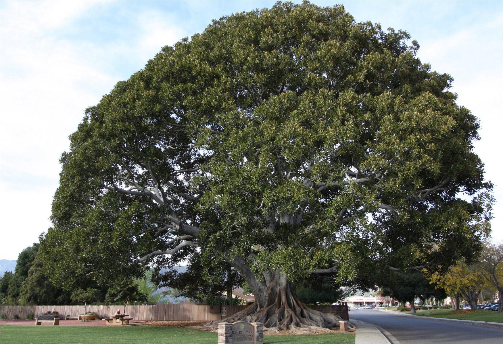 Big Tree in Glendora Park | Let Pictures Talk