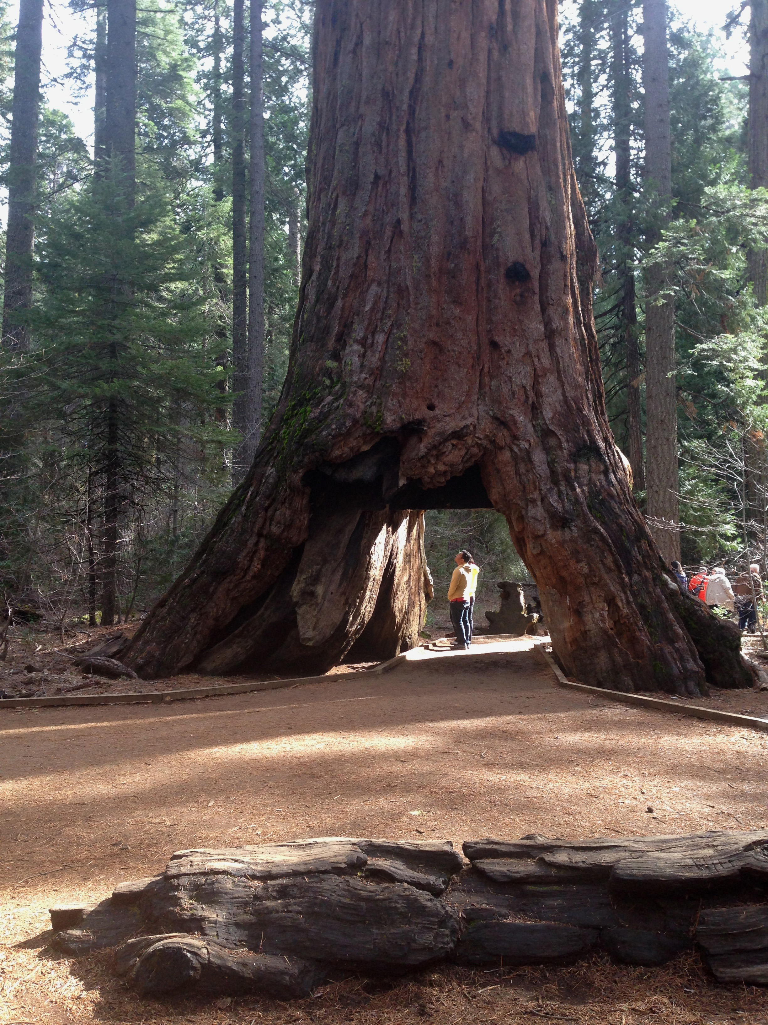 Heavy Rains Topple Iconic Pioneer Cabin Tree at Calaveras Big Trees ...