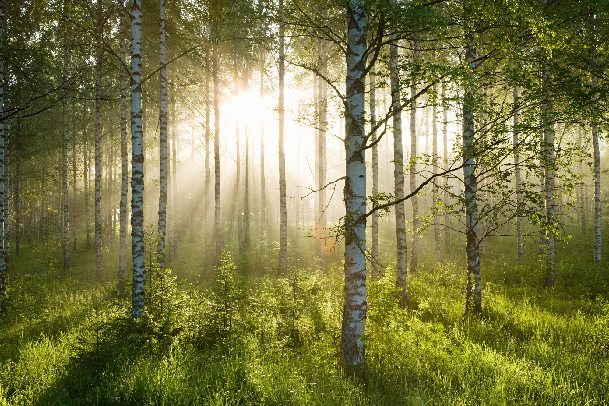 Birch Forest Sunlight Wall Mural & Birch Forest Sunlight Wallpaper ...