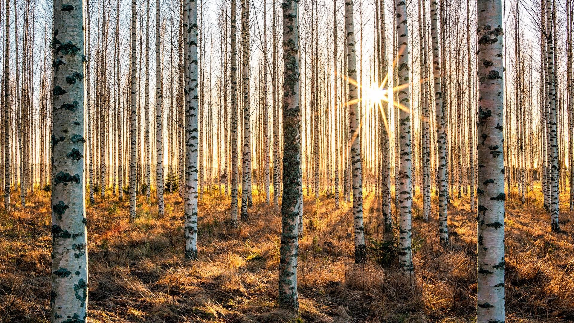 Free Photo Birch Forest Birch Lush Wood Free