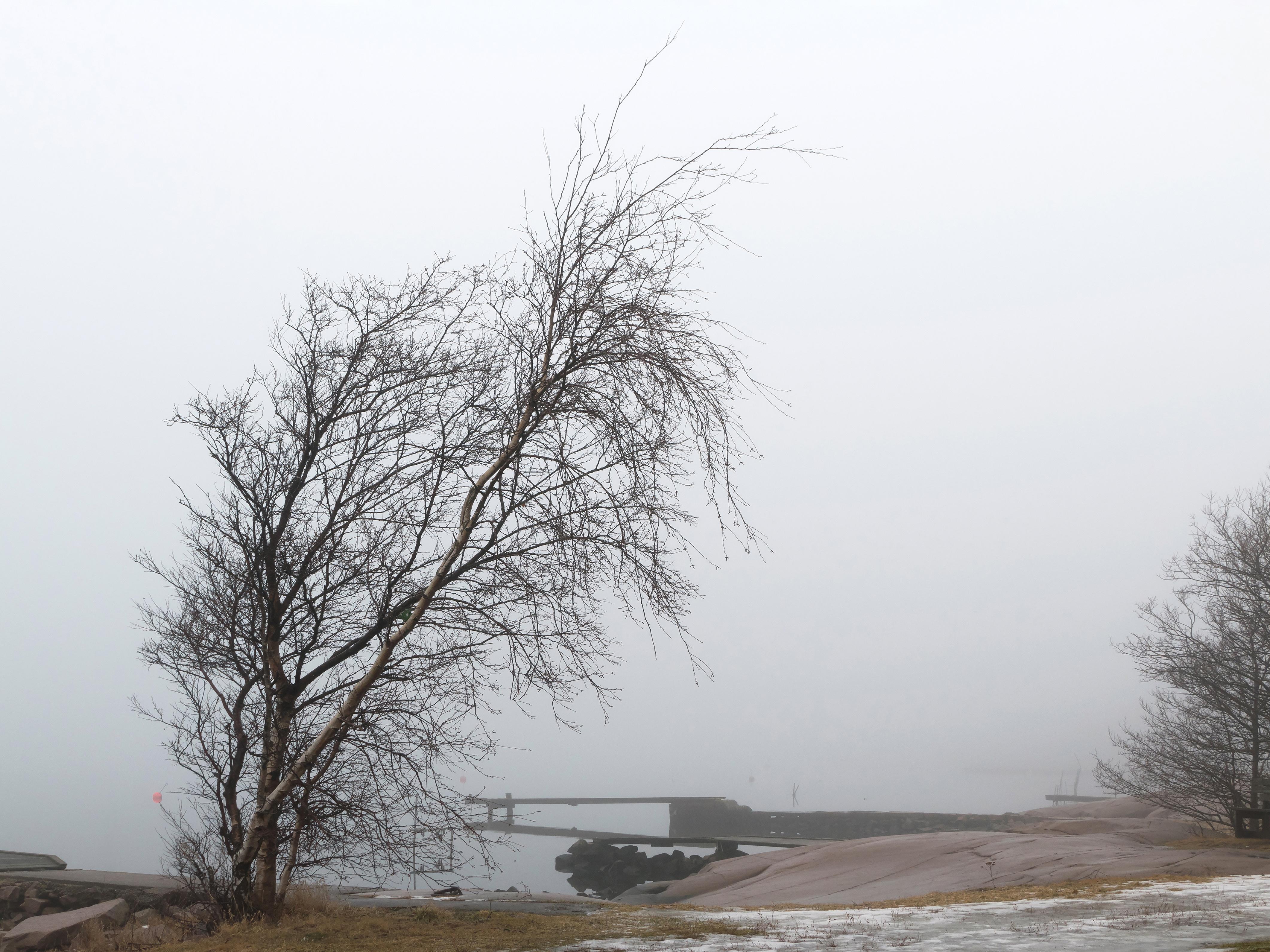 Birch in fog at Holländaröd 1, Birch, Brofjorden, Cliff, Fog, HQ Photo