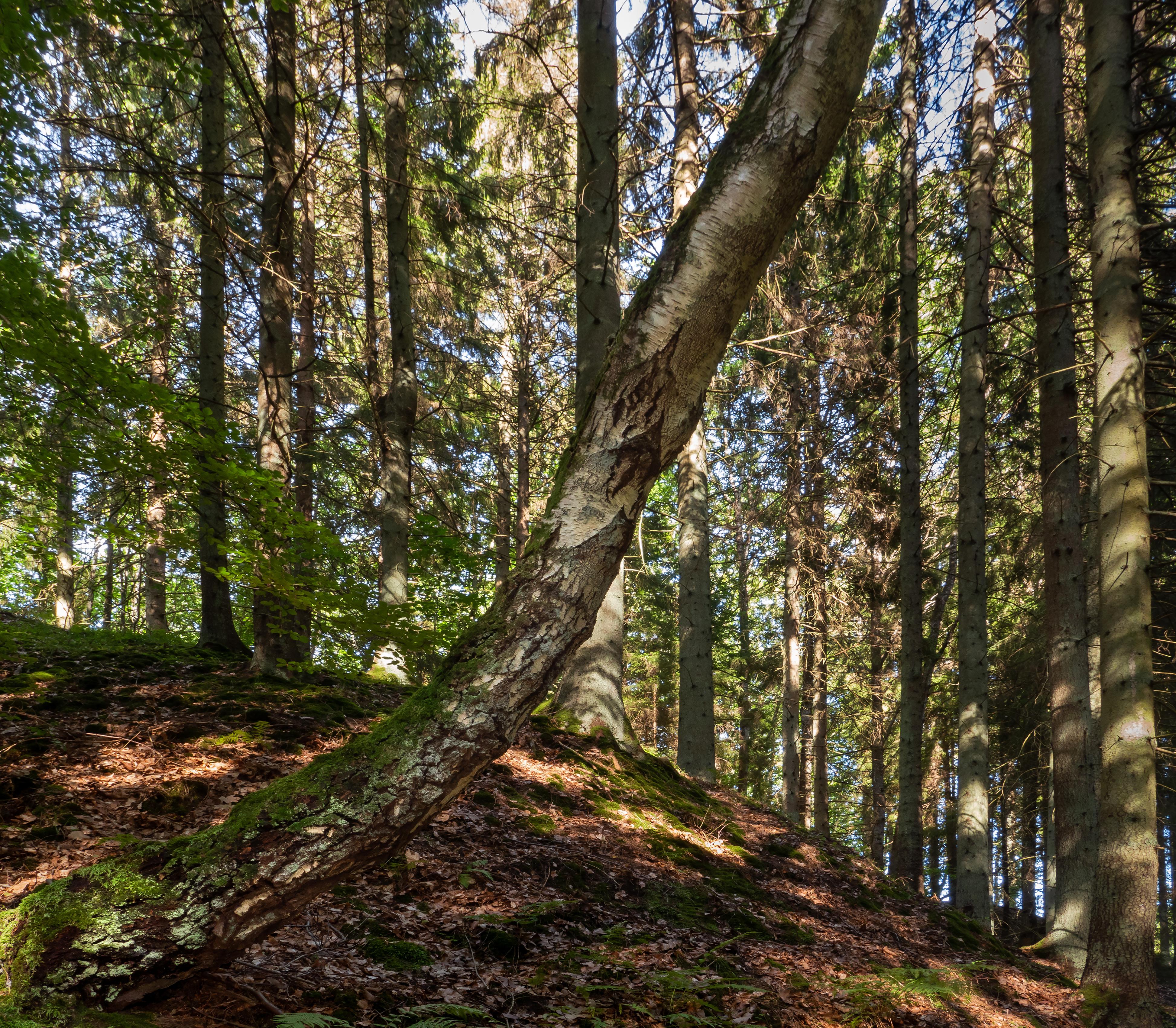 Birch in front of spruces on a slope into gullmarsskogen ravine photo