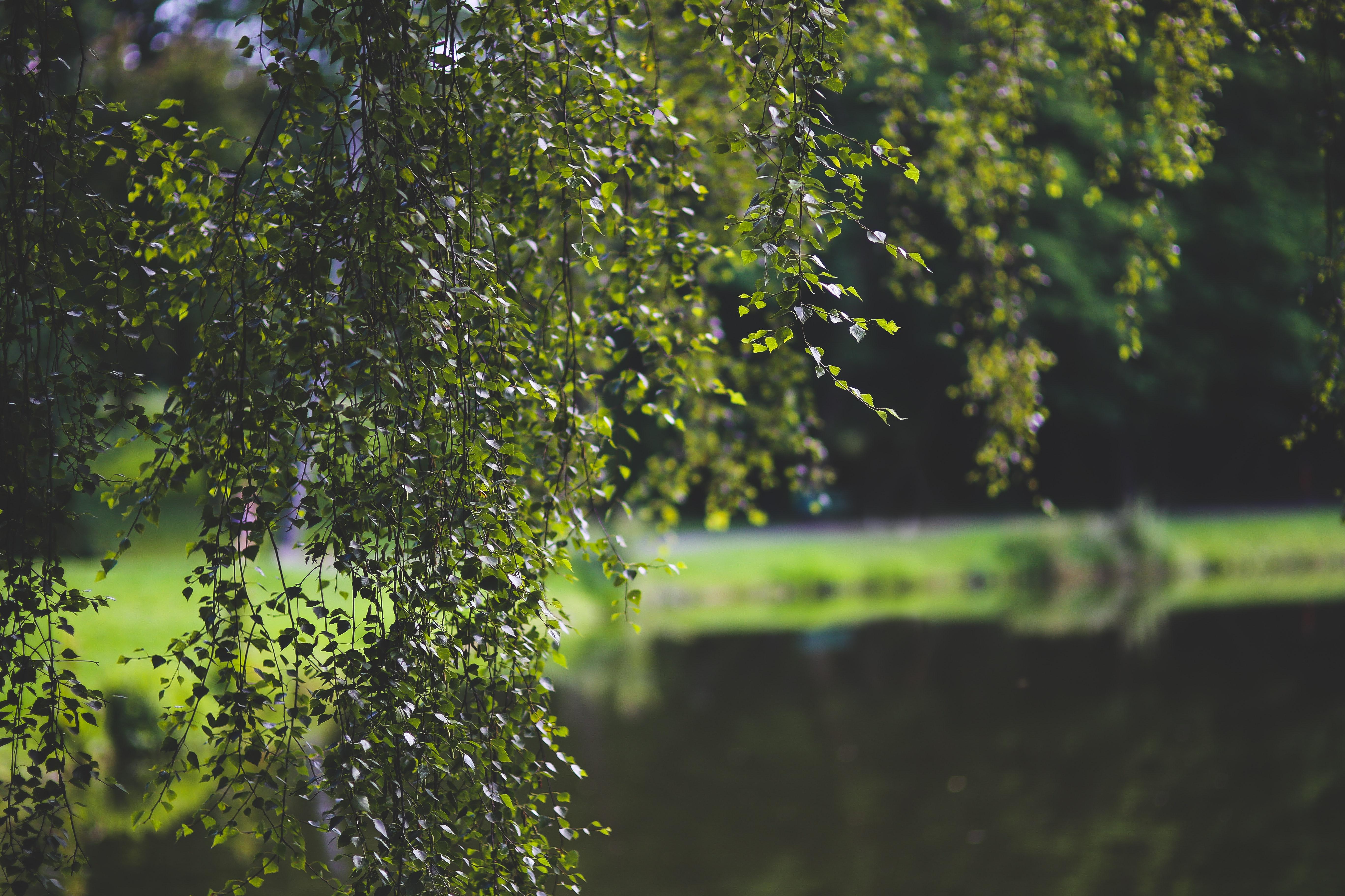 Birch-tree photo