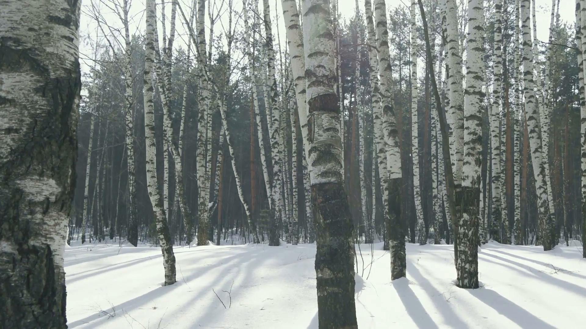 Birch trees in winter forest, Russia Stock Video Footage - Videoblocks