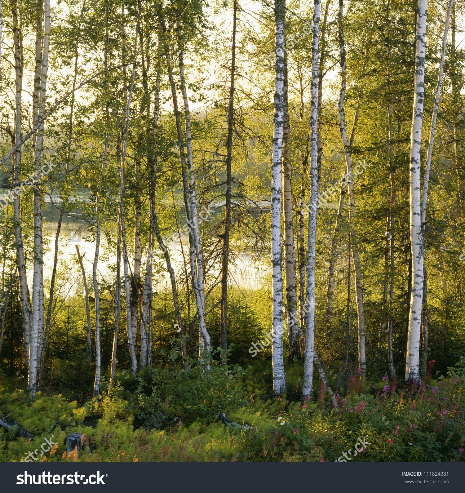 Birch-tree forest, Angermaland, Sweden | birch | Pinterest | Tree ...
