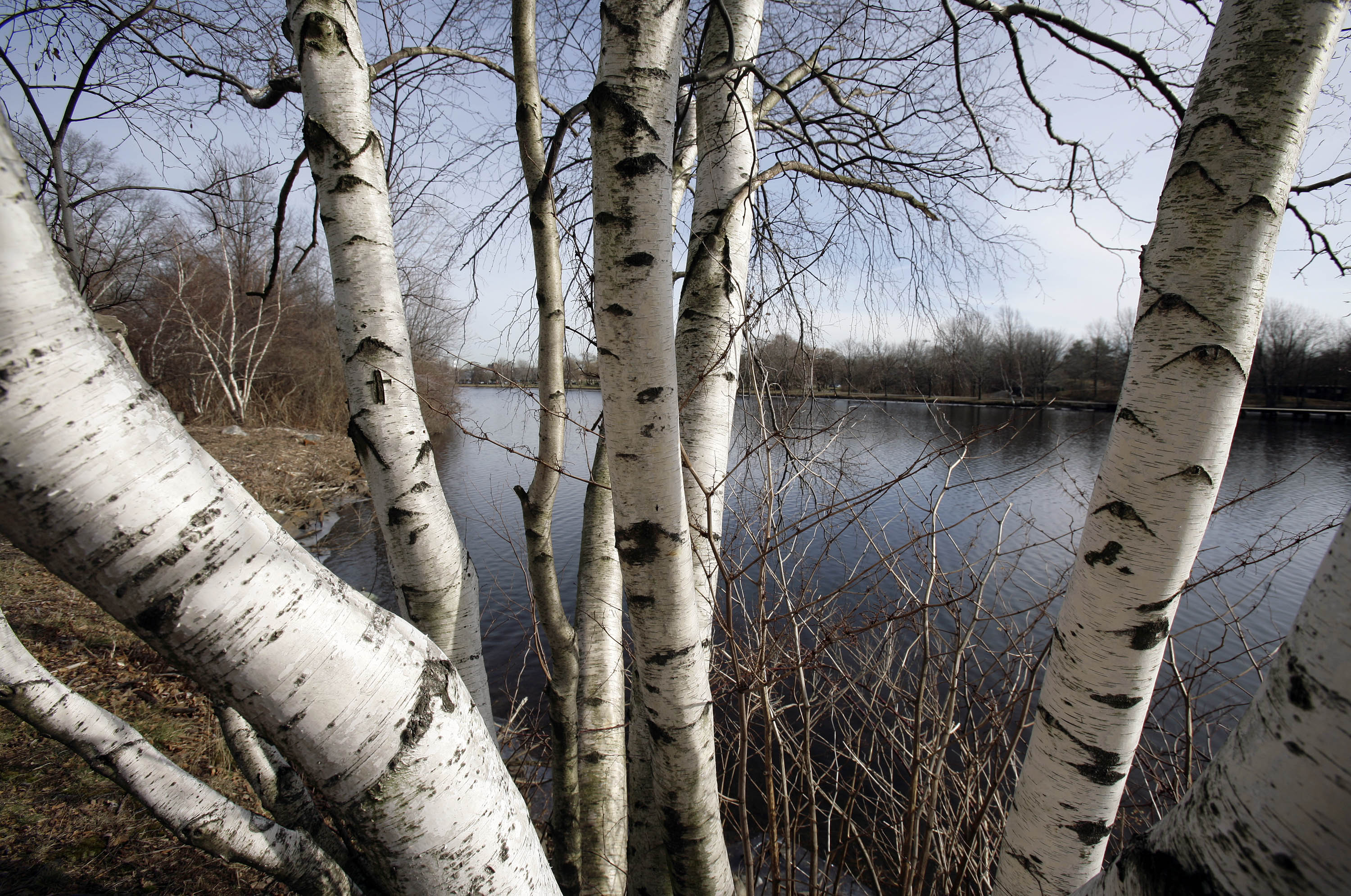Stealing Birch From Northern Wisconsin Forests Is 'New Trend ...