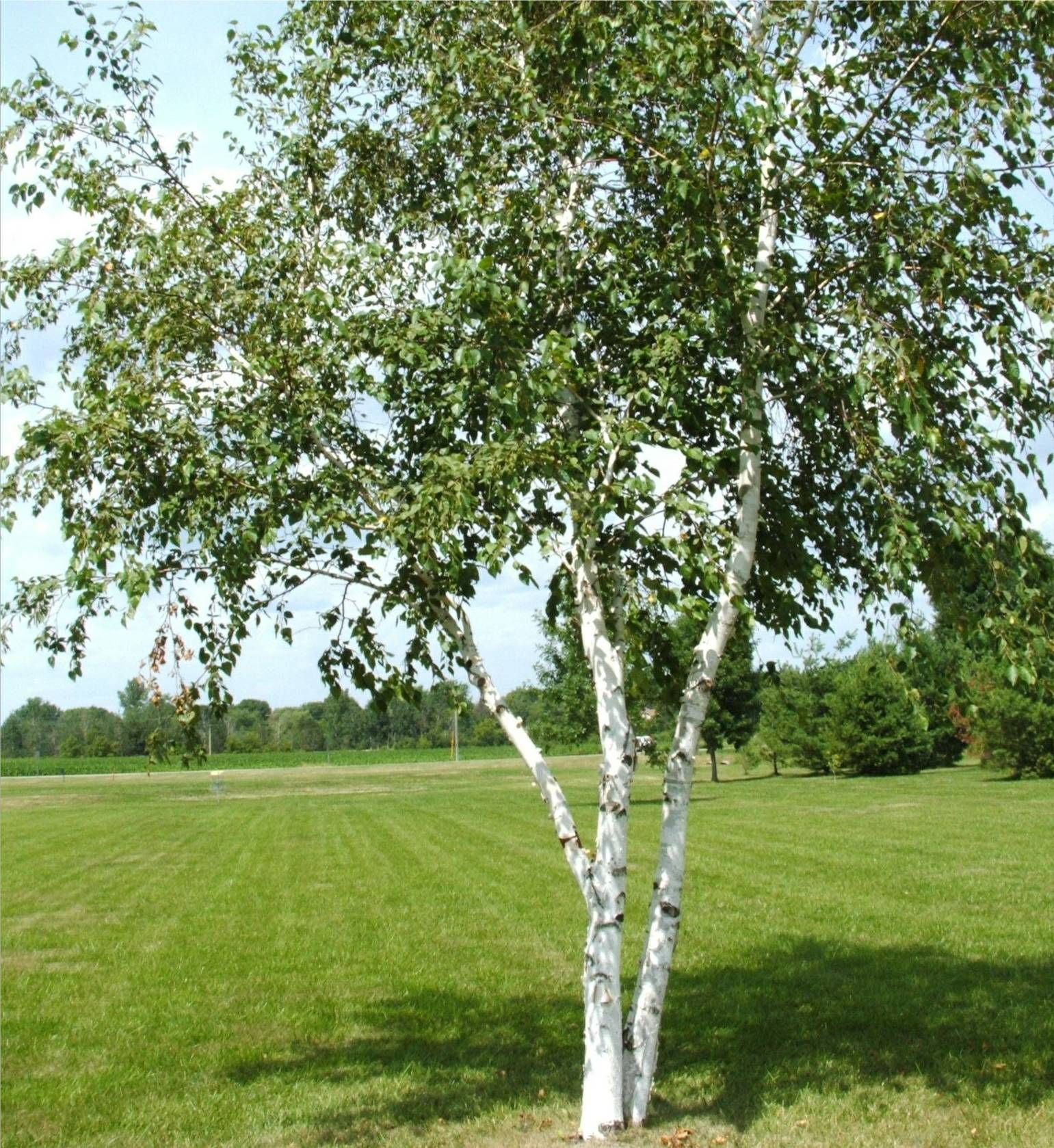 Are there any trees prettier than a white birch tree?? - AnandTech ...