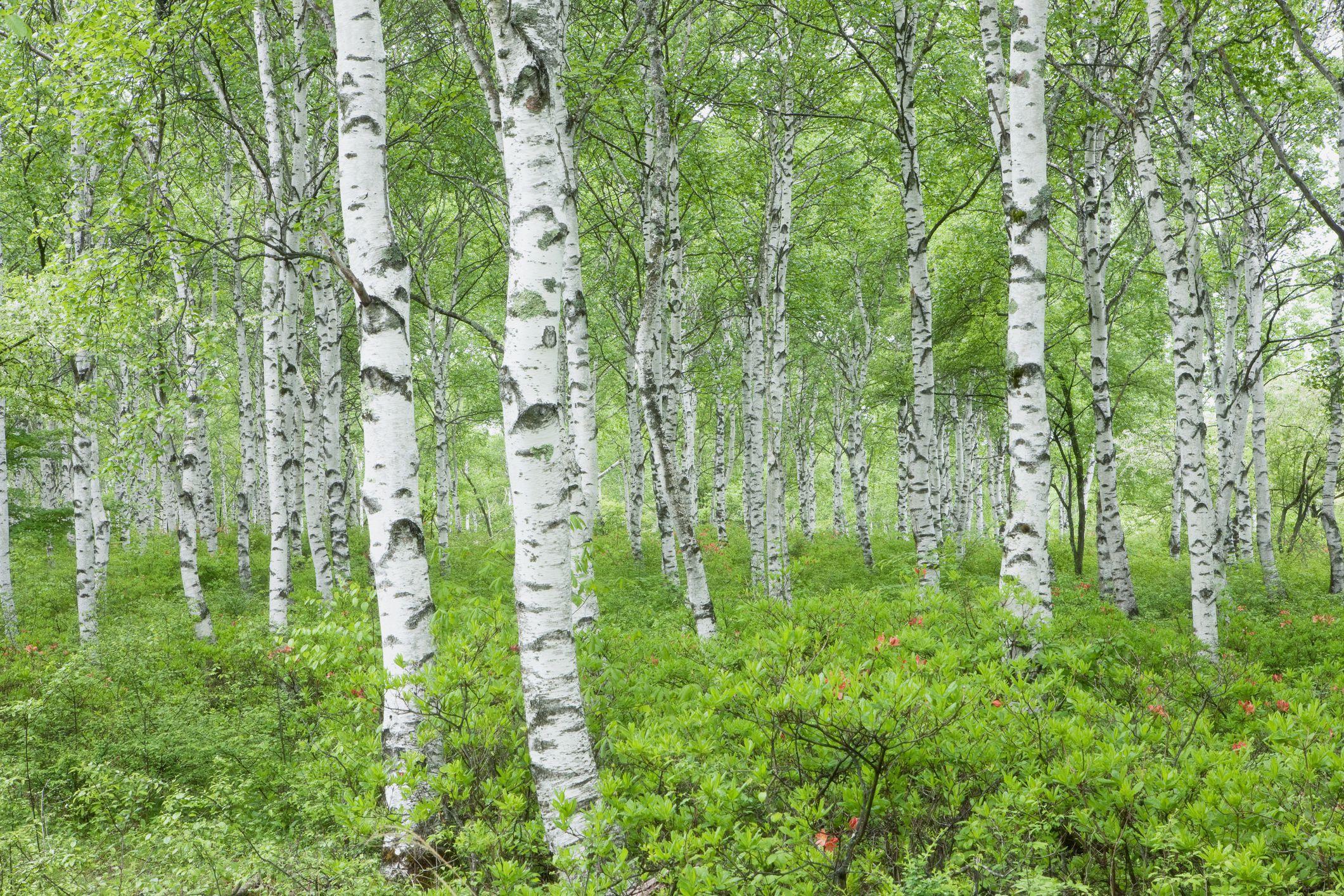 Meet 12 Species of Birch Trees - Betula Genus