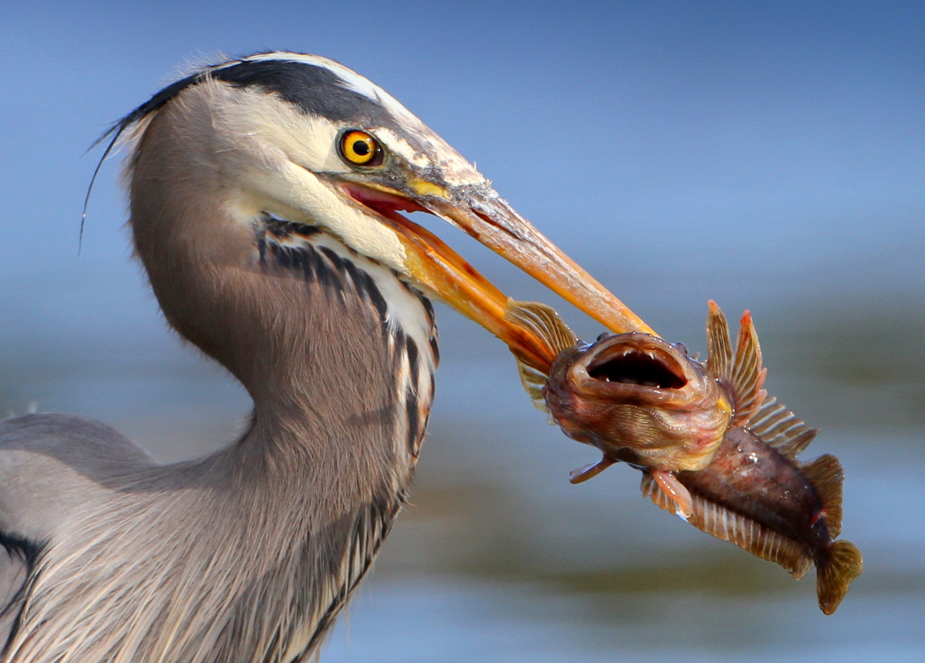 File:Bird eating fish.jpg - Wikimedia Commons