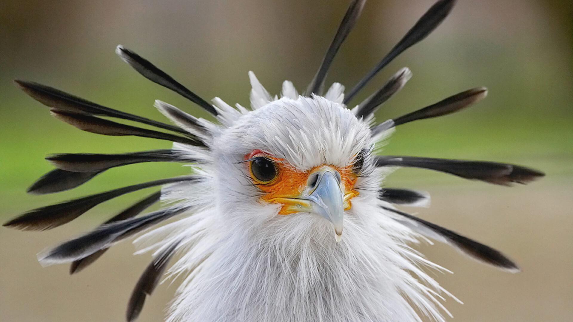 Secretary Bird | San Diego Zoo Animals & Plants