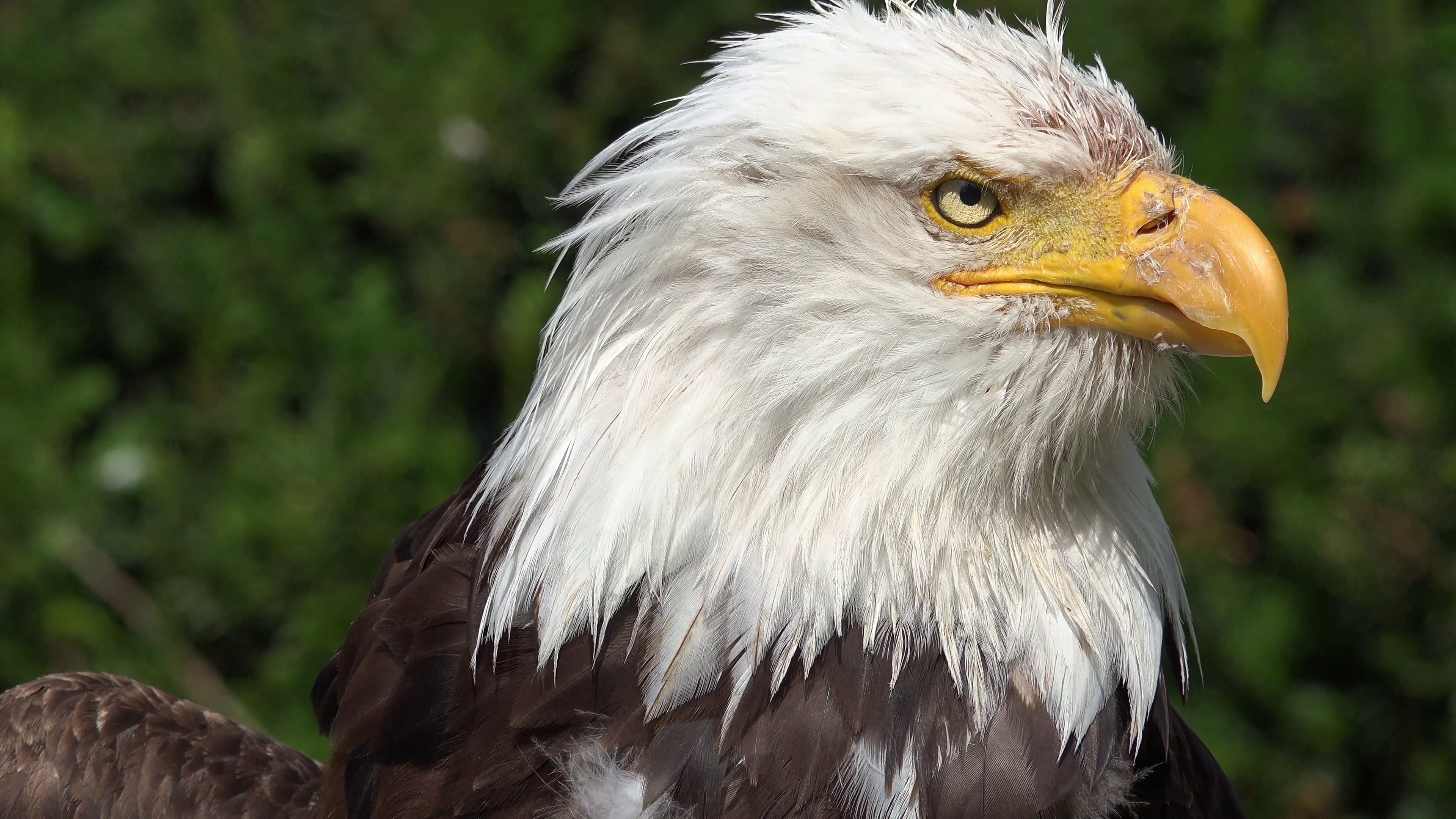 4k Bird of Prey - Bald Eagle close up turning head right to left ...