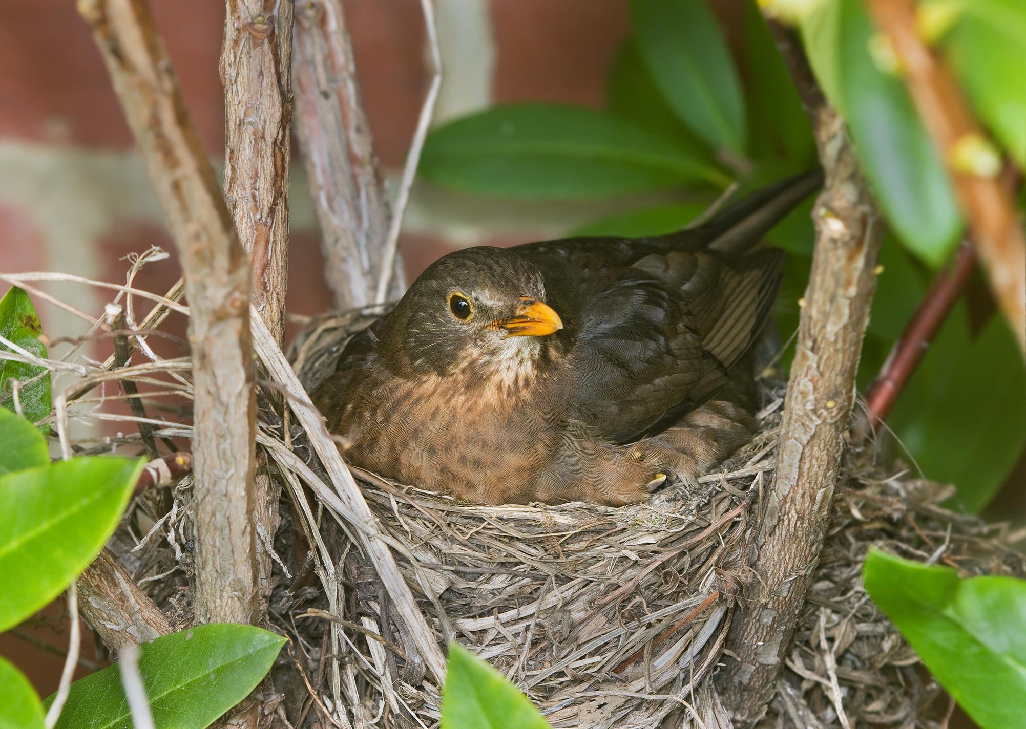 Bird nest - Wikipedia
