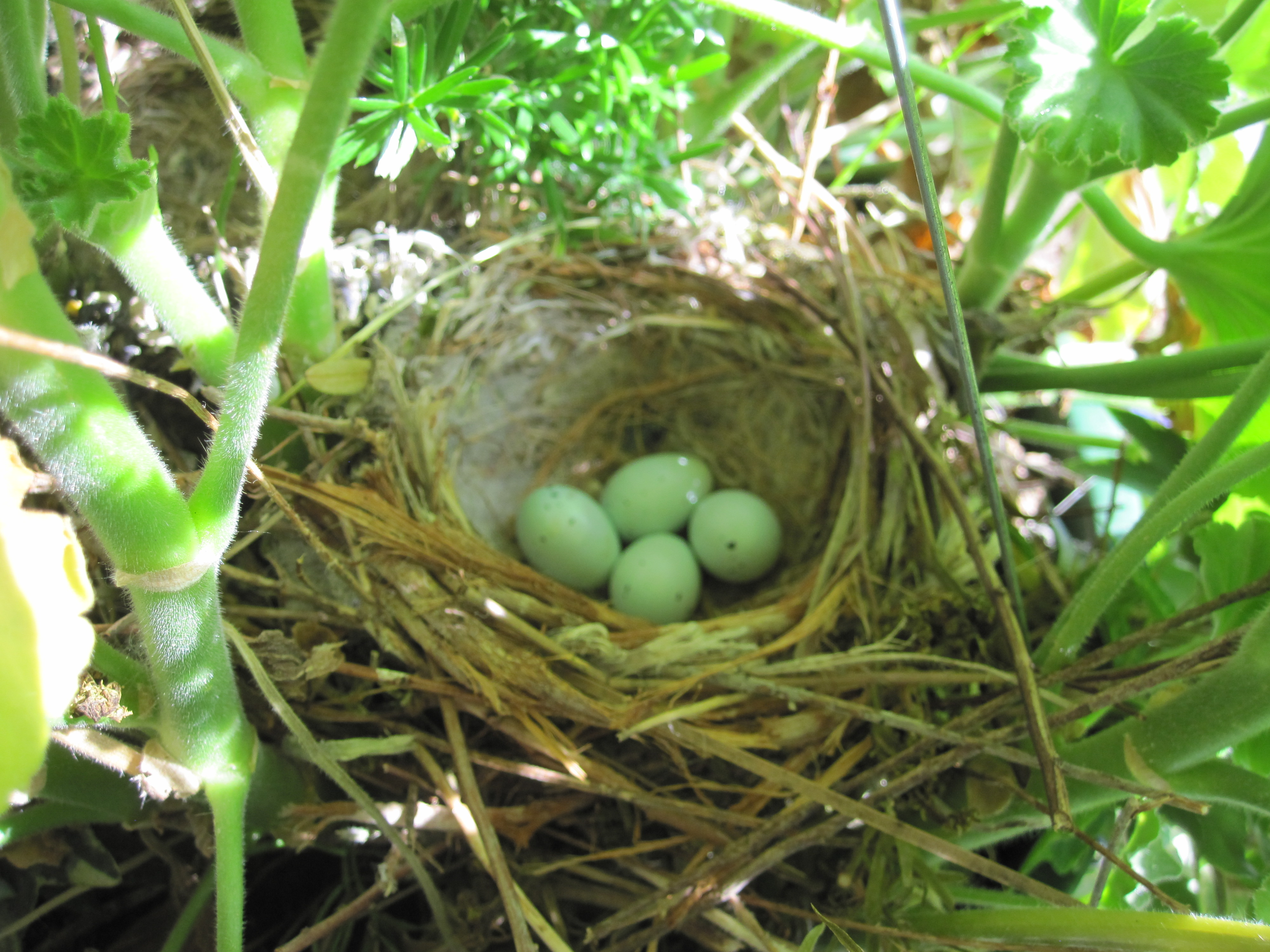 bird nest with eggs | Pics4Learning