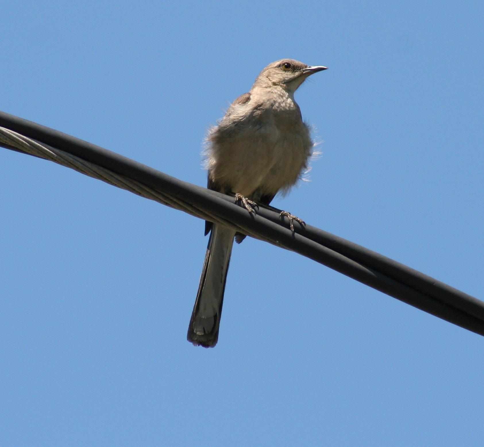 File:Bird on a Wire (3690480985).jpg - Wikimedia Commons