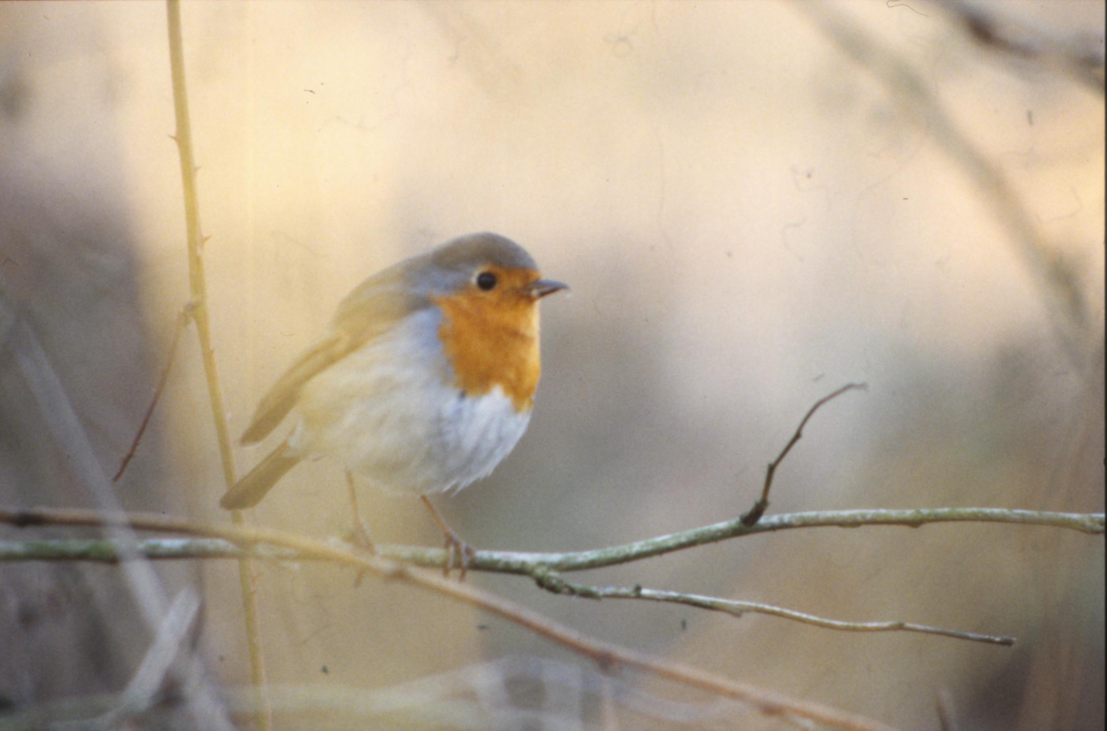 Bird with orange cheast photo
