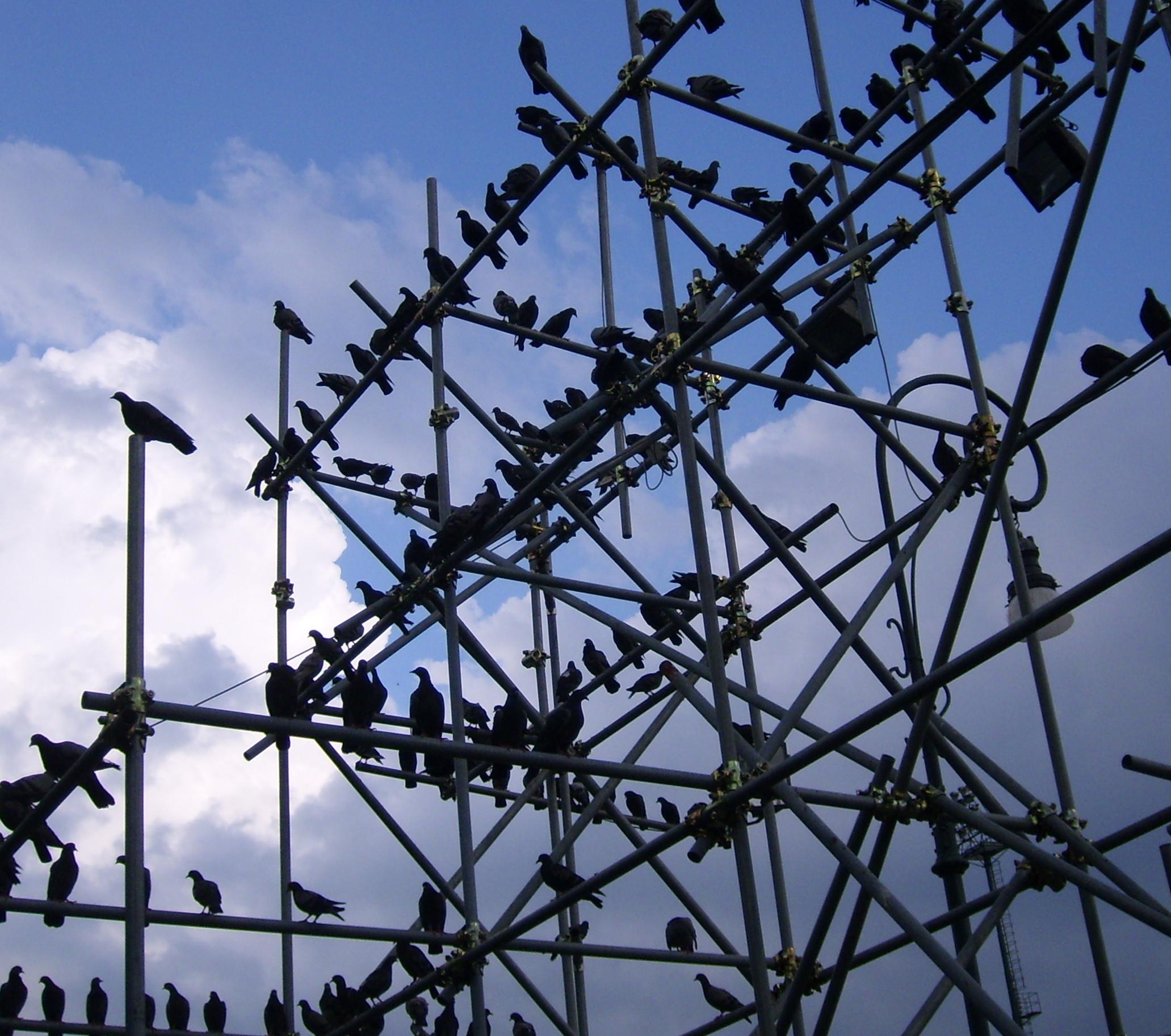 Birds, Scaffold, Trellis, Pigeons, Many, HQ Photo
