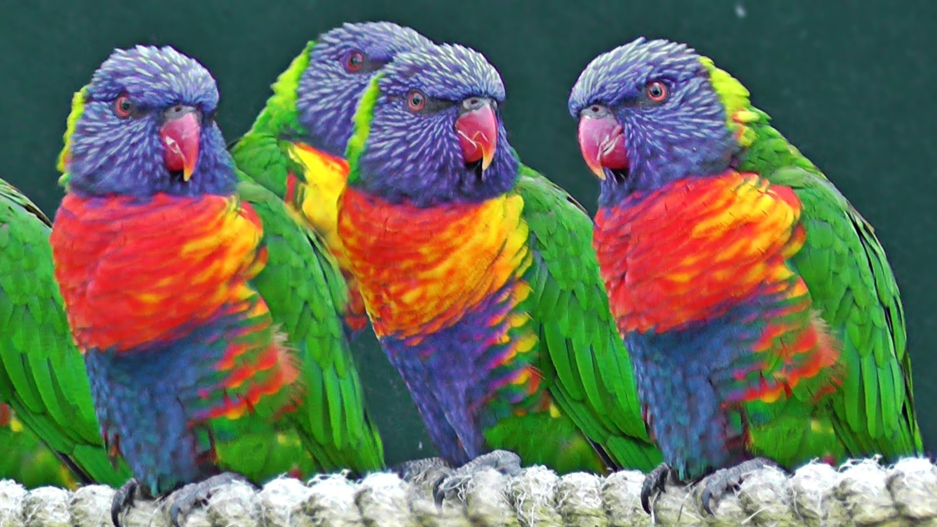 Lorikeets - Exotic Birds - YouTube