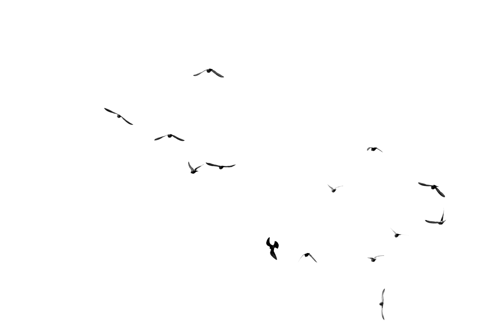 Birds Flying On White Free Stock Photo - Public Domain Pictures