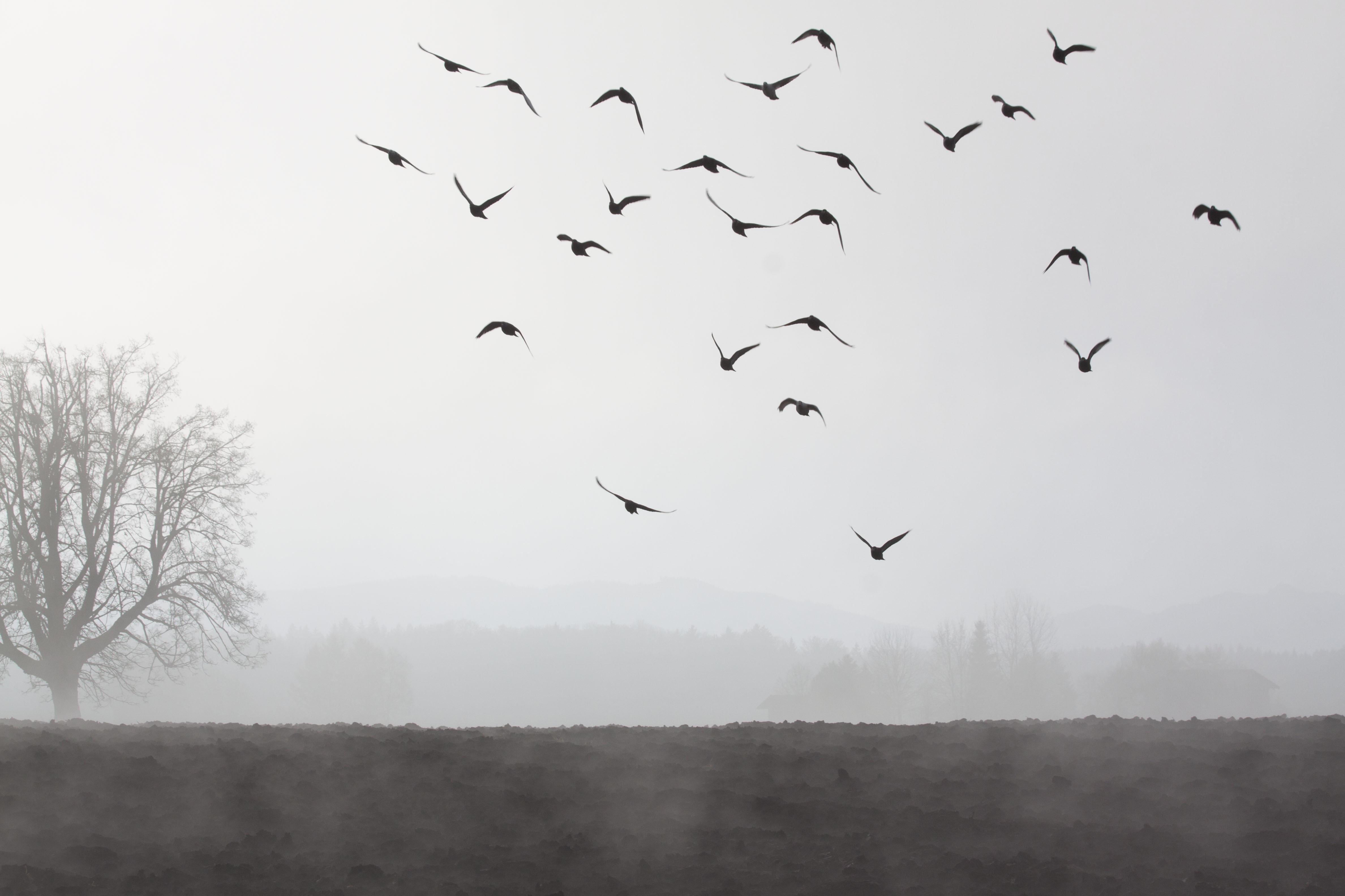 Birds Flying, Animal, Bird, Flying, Fog, HQ Photo