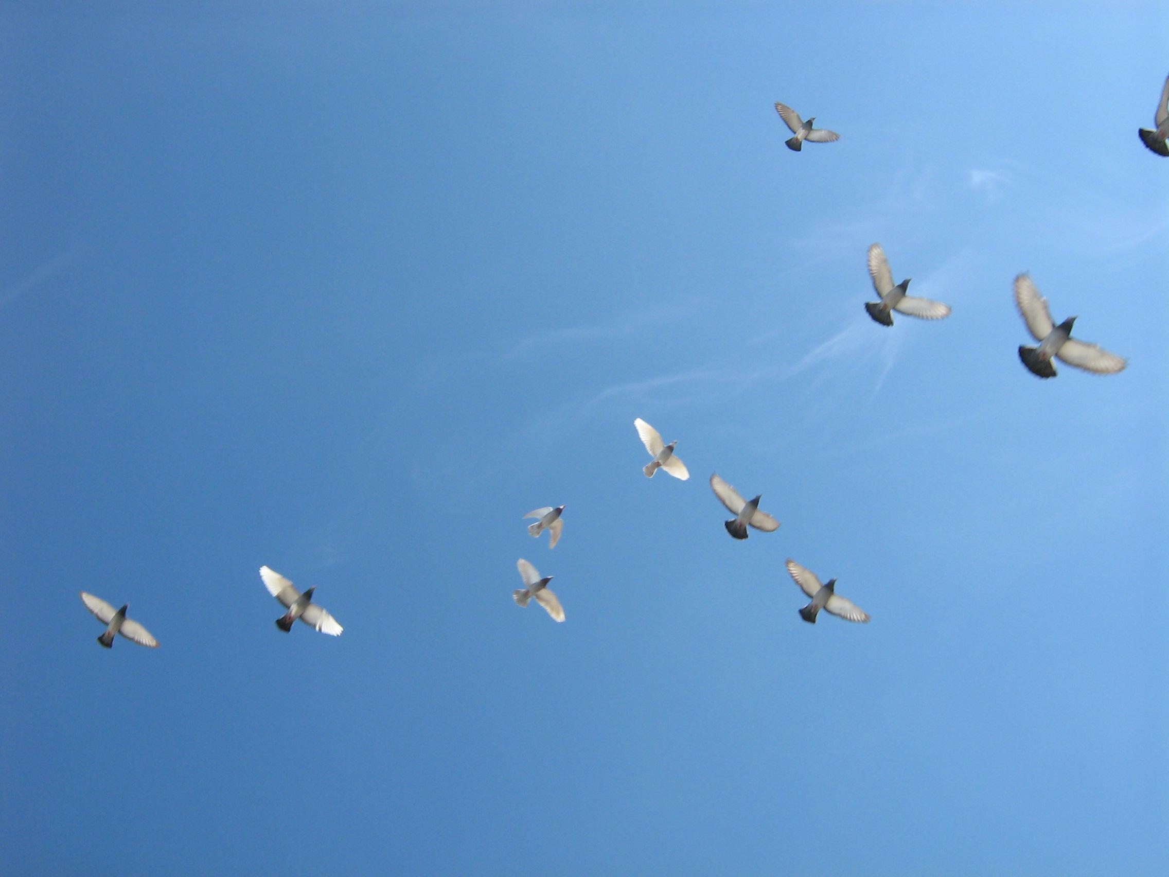 File:Flying-birds.jpg - Wikimedia Commons