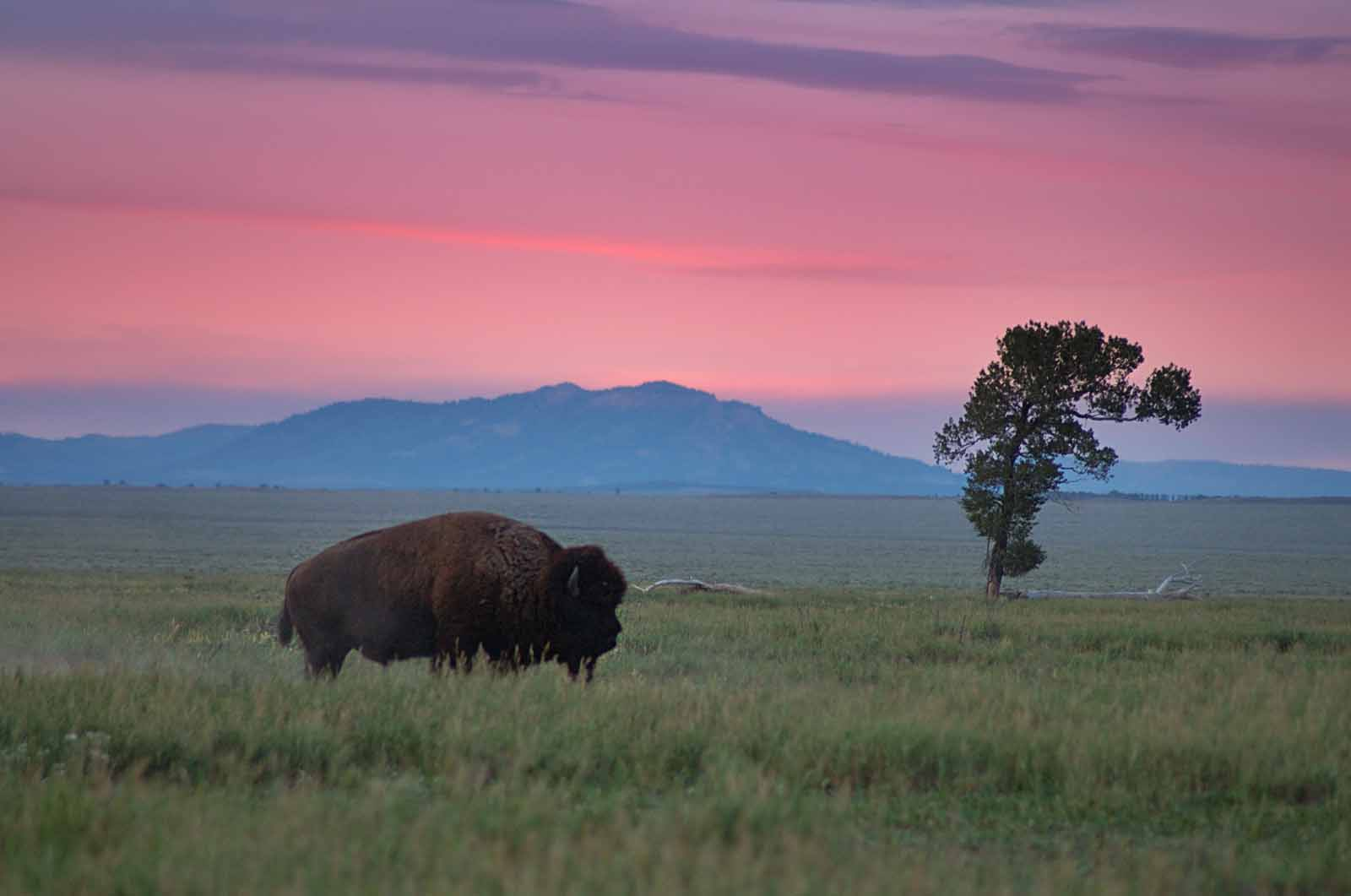 Bison and lone tree photo